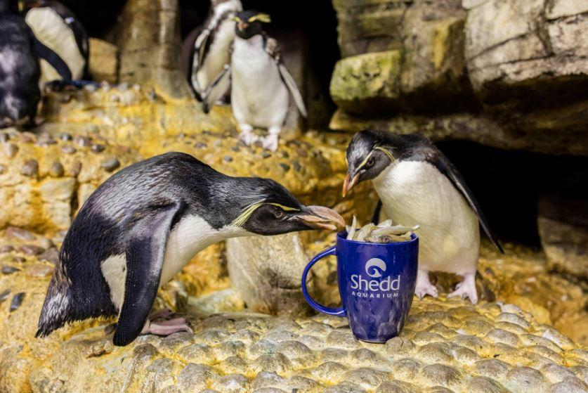 Penguins eat from a mug at Shedd Aquarium. (Courtesy Shedd Aquarium)