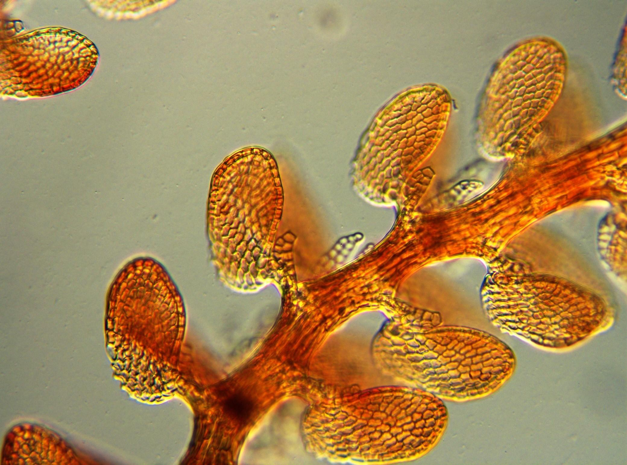 Citizen scientists examined digital images of liverwort plants as part of a Field Museum-led study. (Courtesy Field Museum)