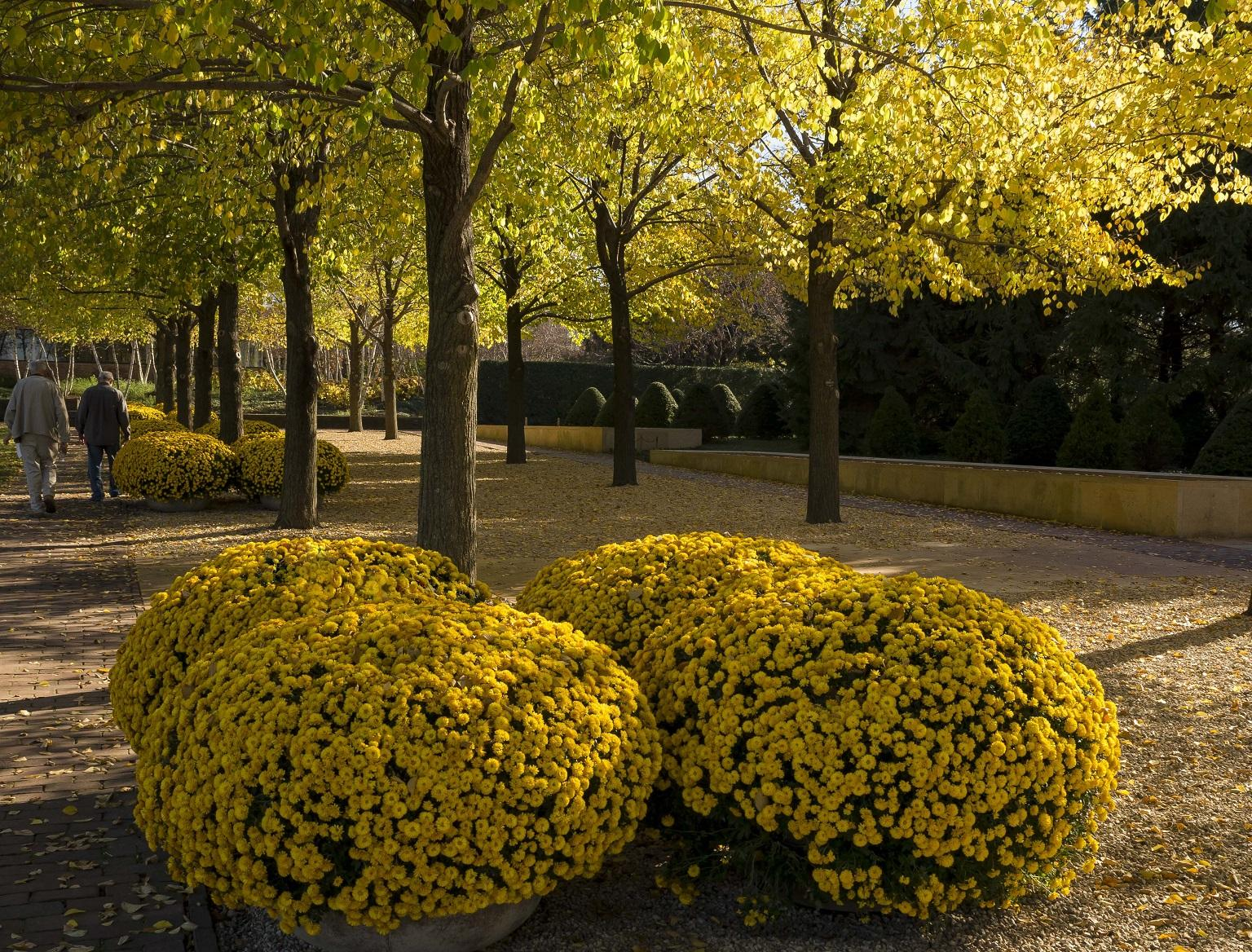 Bright gold colors on display this fall in the Esplanade at the Chicago Botanic Garden (Courtesy Chicago Botanic Garden)