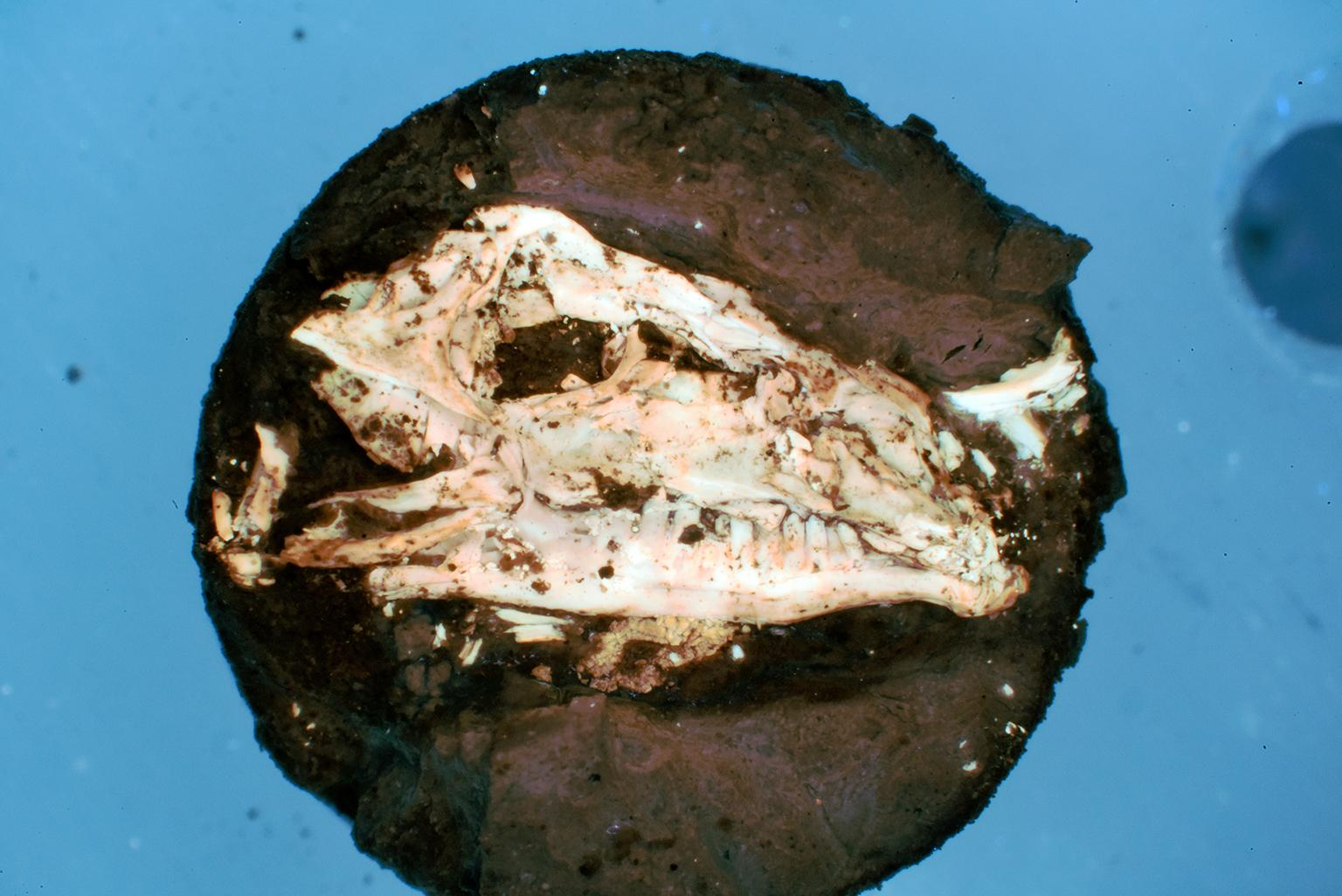 A synthetically fossilized lizard head created by Field Museum researcher Evan Saitta. (Evan Saitta / Field Museum)