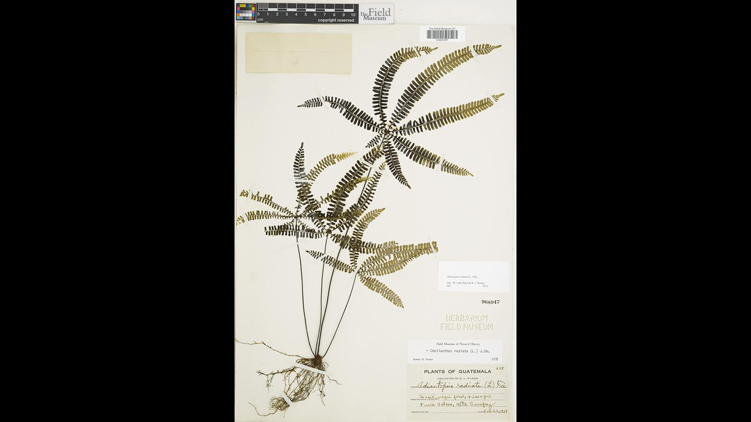 A plant species in the Field Museum's collection (Courtesy Field Museum)