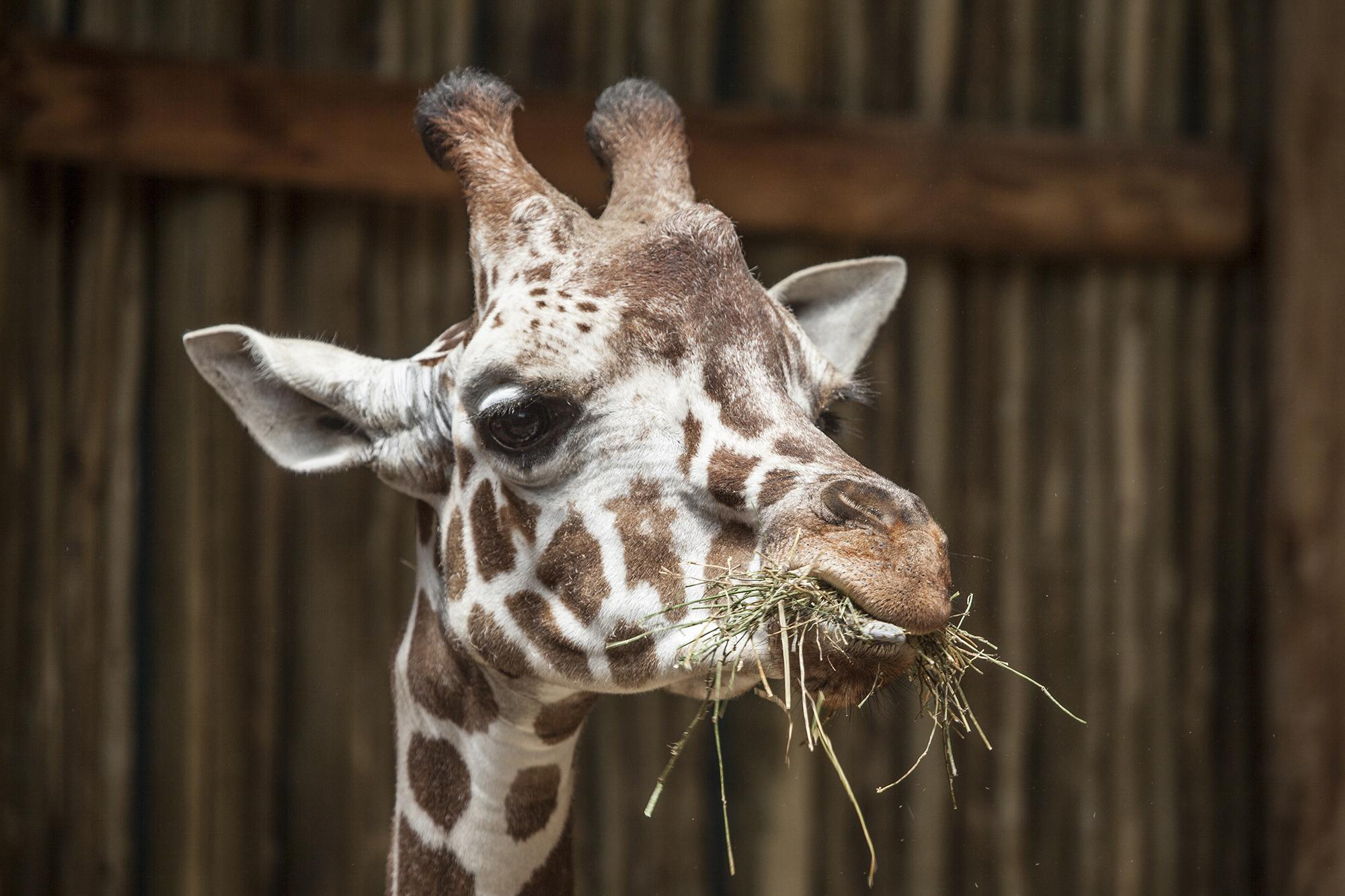 Finely, a 2-year-old giraffe at Lincoln Park Zoo (Chris Bijalba / Lincoln Park Zoo)
