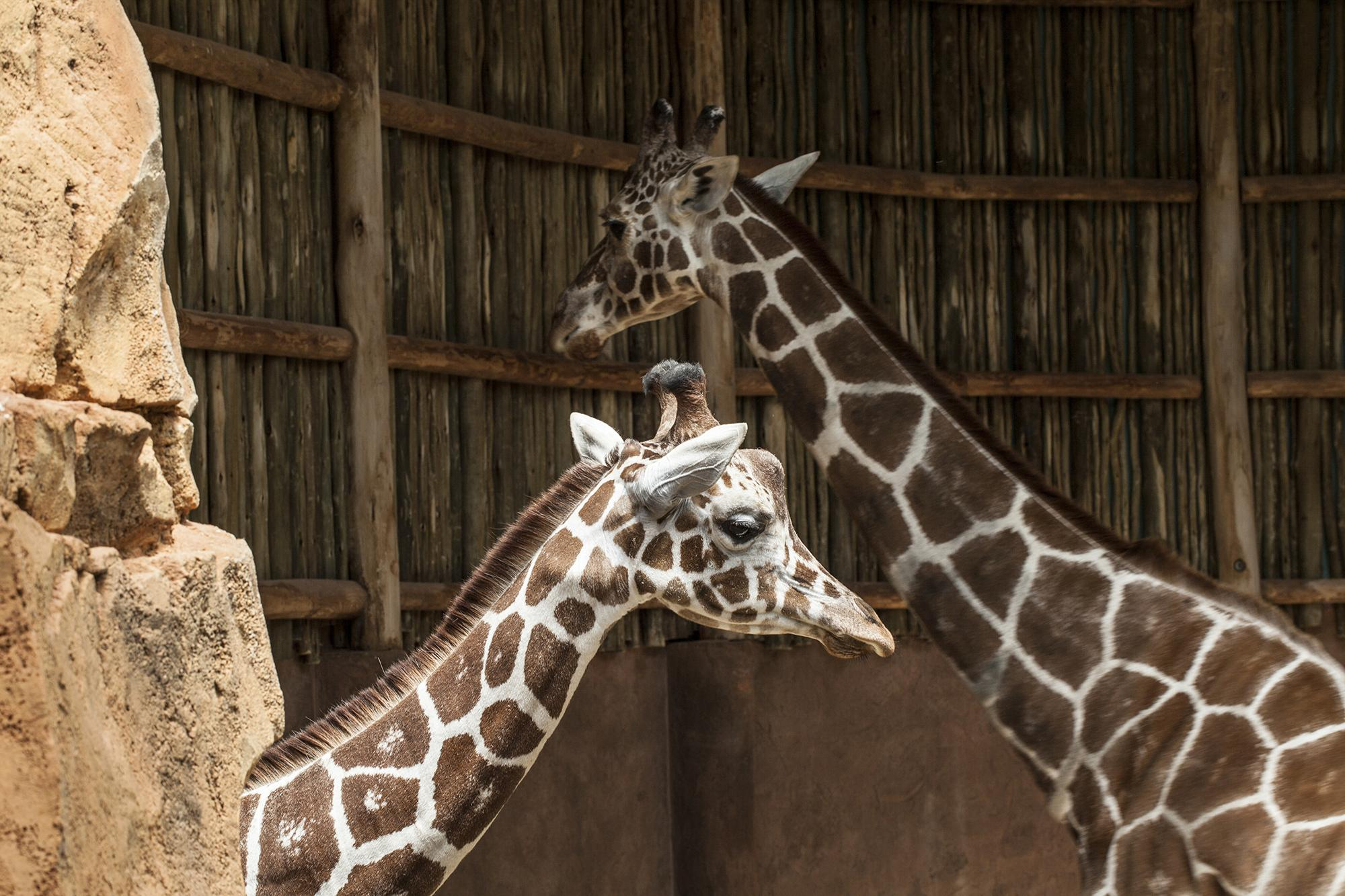 Lincoln Park Zoo's new 2-year-old giraffe, Finely, left, pictured with Etana, an adult giraffe at the zoo. (Chris Bijalba / Lincoln Park Zoo)