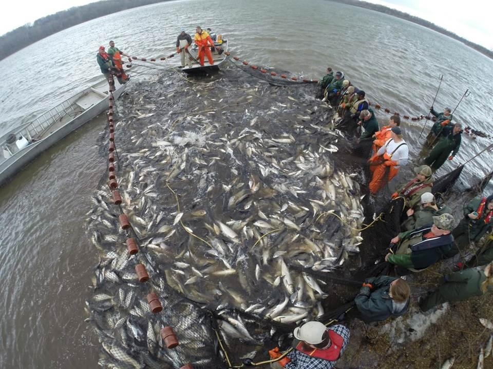 Casper's previous research includes studying how commercial fishing helps prevent the spread of Asian carp, which are pictured here in Illinois. (Courtesy Illinois Natural History Survey)