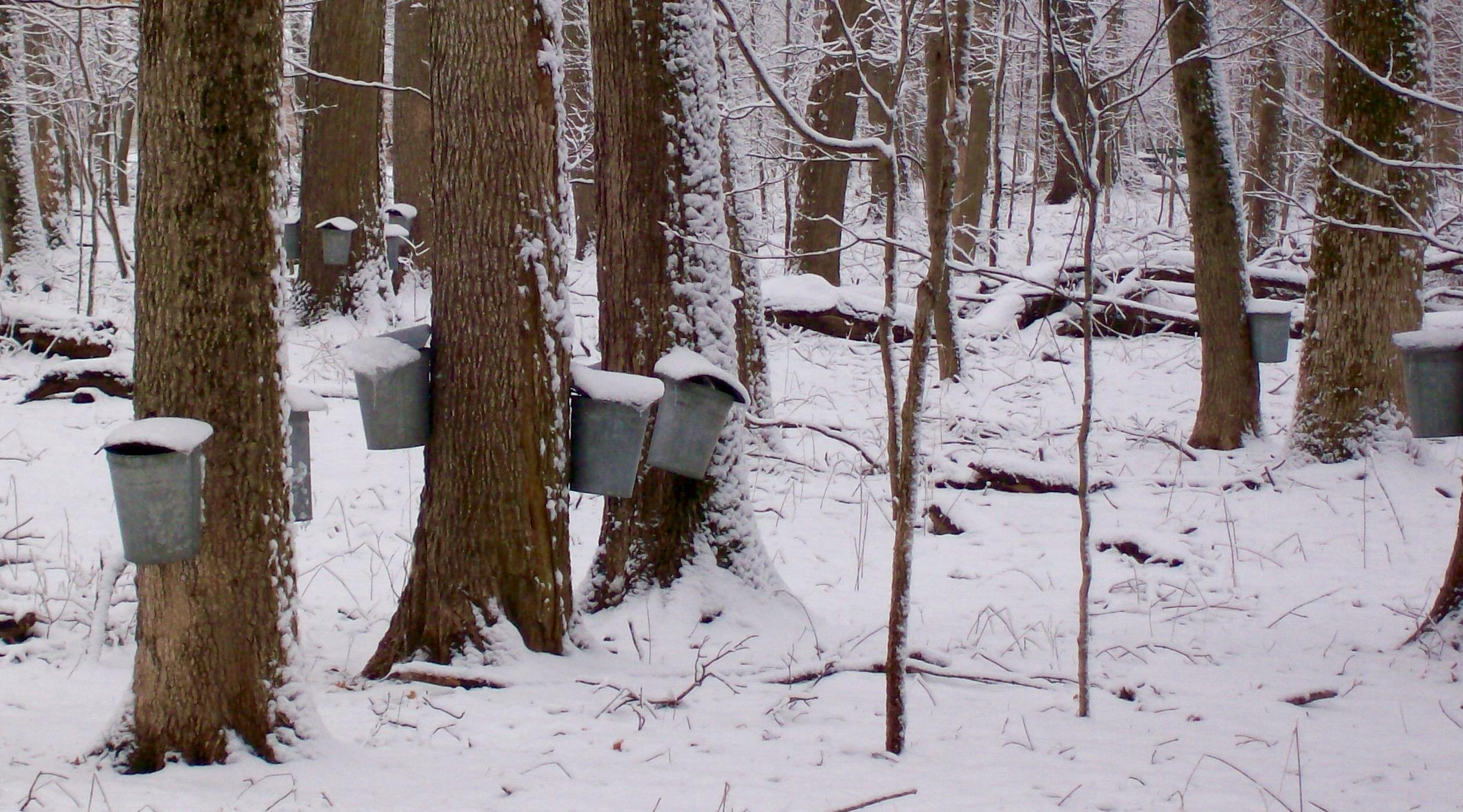 Is Climate Change Killing The Maple Syrup Industry Chicago News