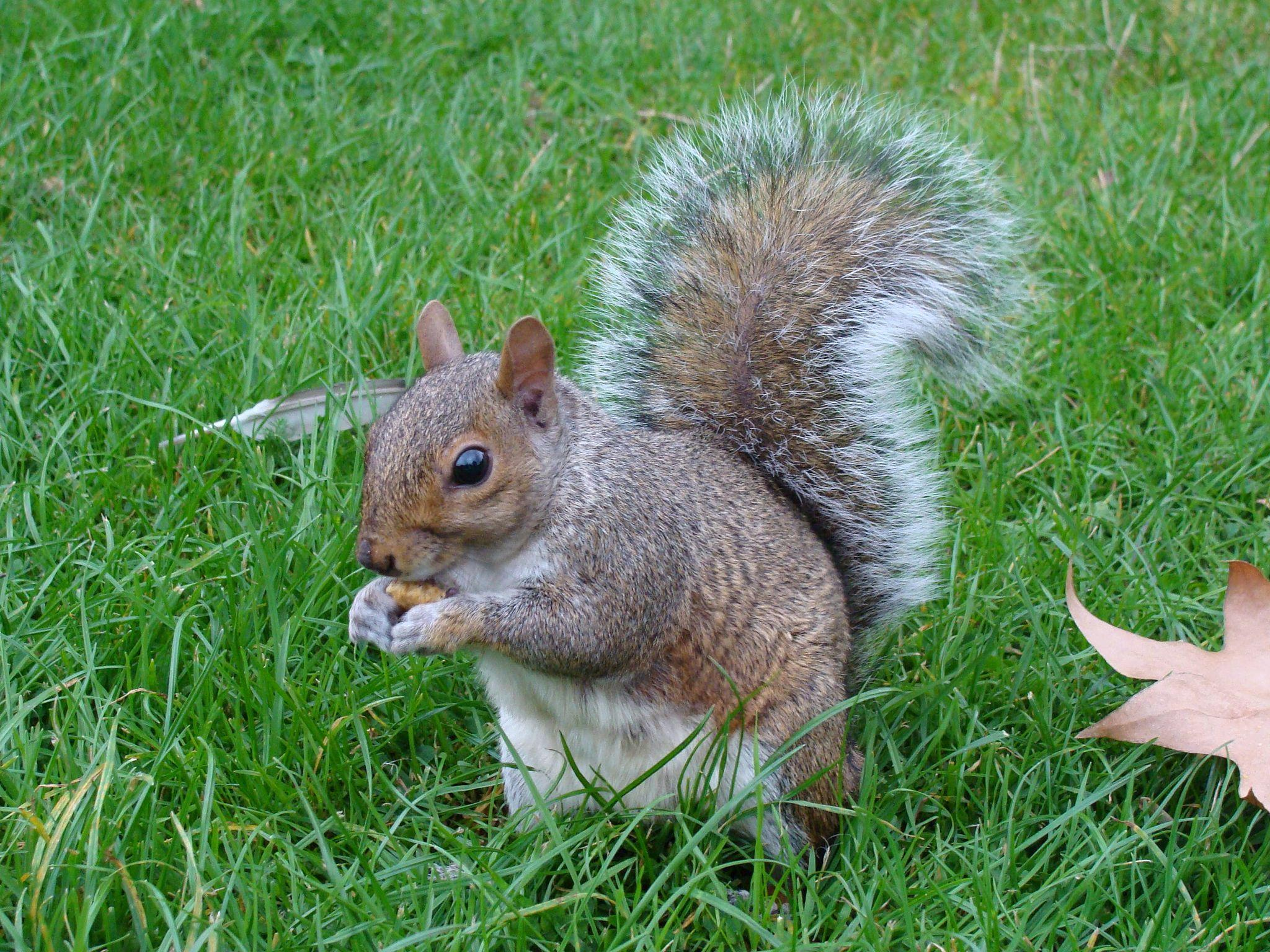 Gray squirrels are usually found in densely populated areas, like parks and campuses, according to Project Squirrel. (Drow male / Wikimedia Commons)