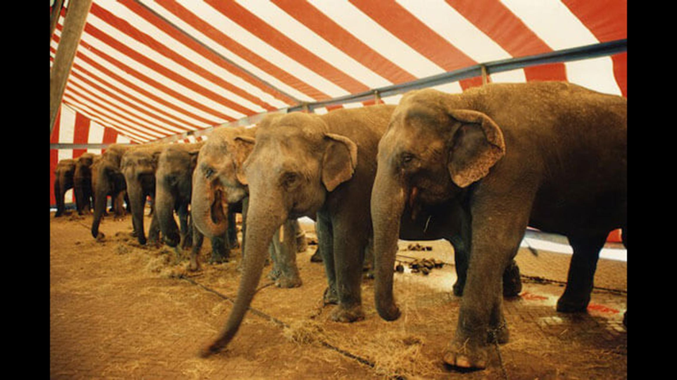 The USDA has cited elephant exhibitors that perform in Illinois for violations of the federal Animal Welfare Act. (Courtesy of PETA)