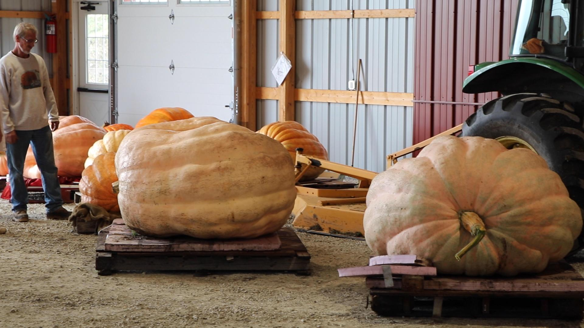 Giant pumpkins are lined up before they're weighed at Heap's Giant Pumpkin Farm in Minooka, Illinois. (Evan Garcia / WTTW News)