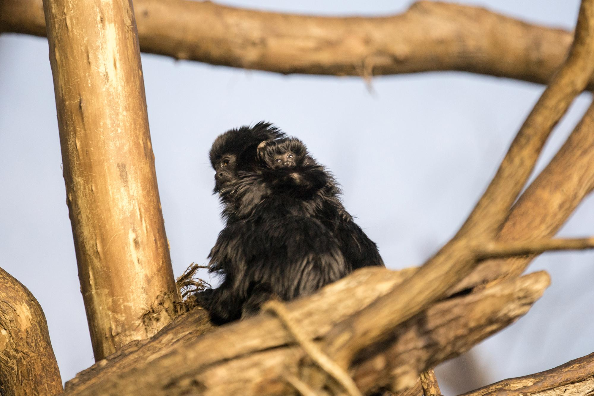 Lincoln Park Zoo's newborn Goeldi's monkey is barely visible as it clings to its mother's neck. (Julia Fuller / Lincoln Park Zoo)