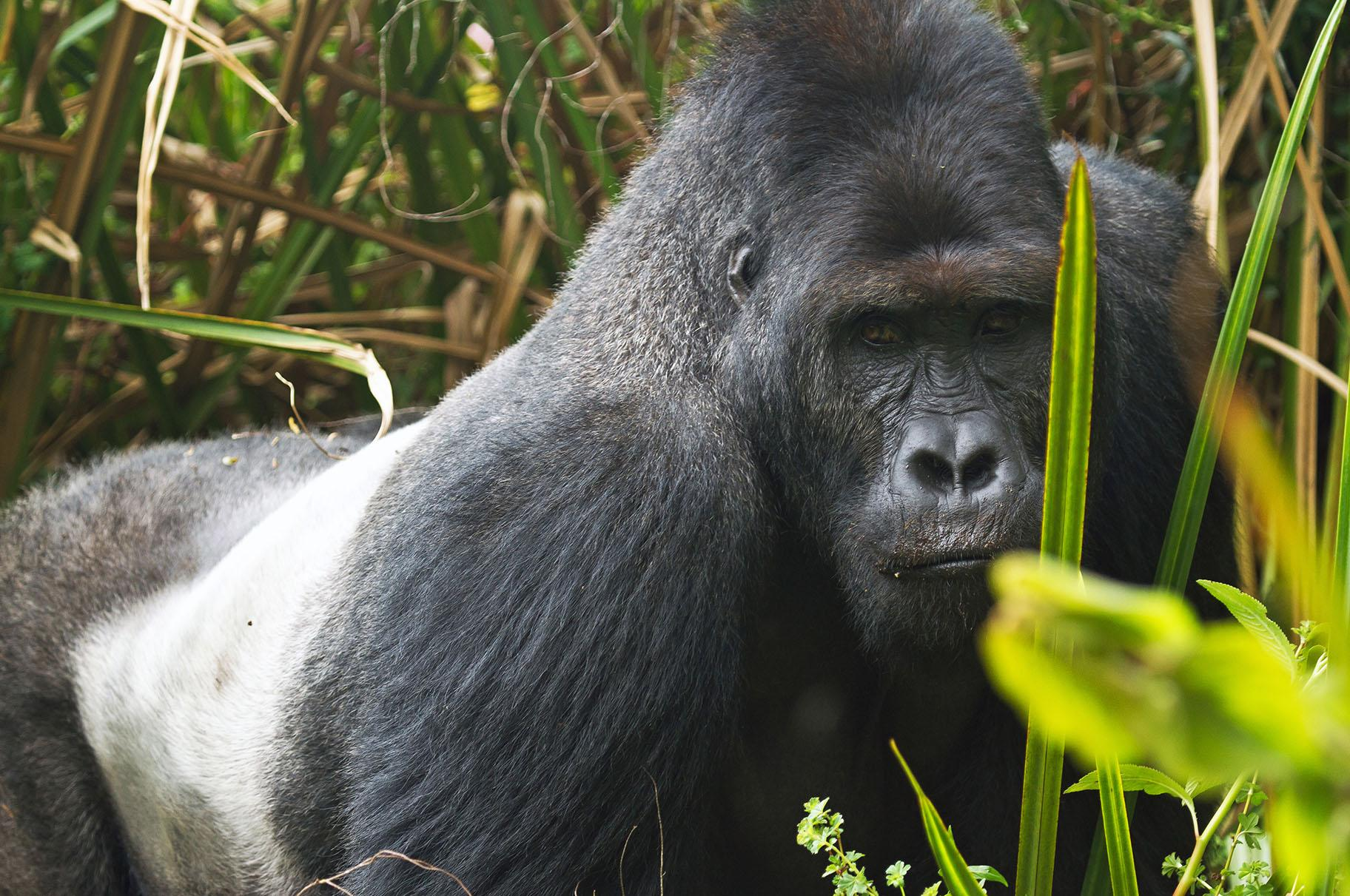A gorilla at Kahuzi-Biega National Park in the Democratic Republic of Congo (Joe McKenna / Wikimedia Commons)