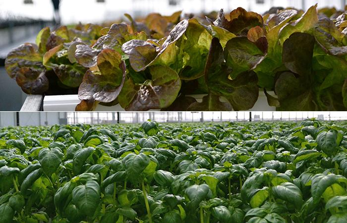 All of the crops are pesticide-free, including red oak lettuce, top, and basil, bottom. (Evan Garcia)