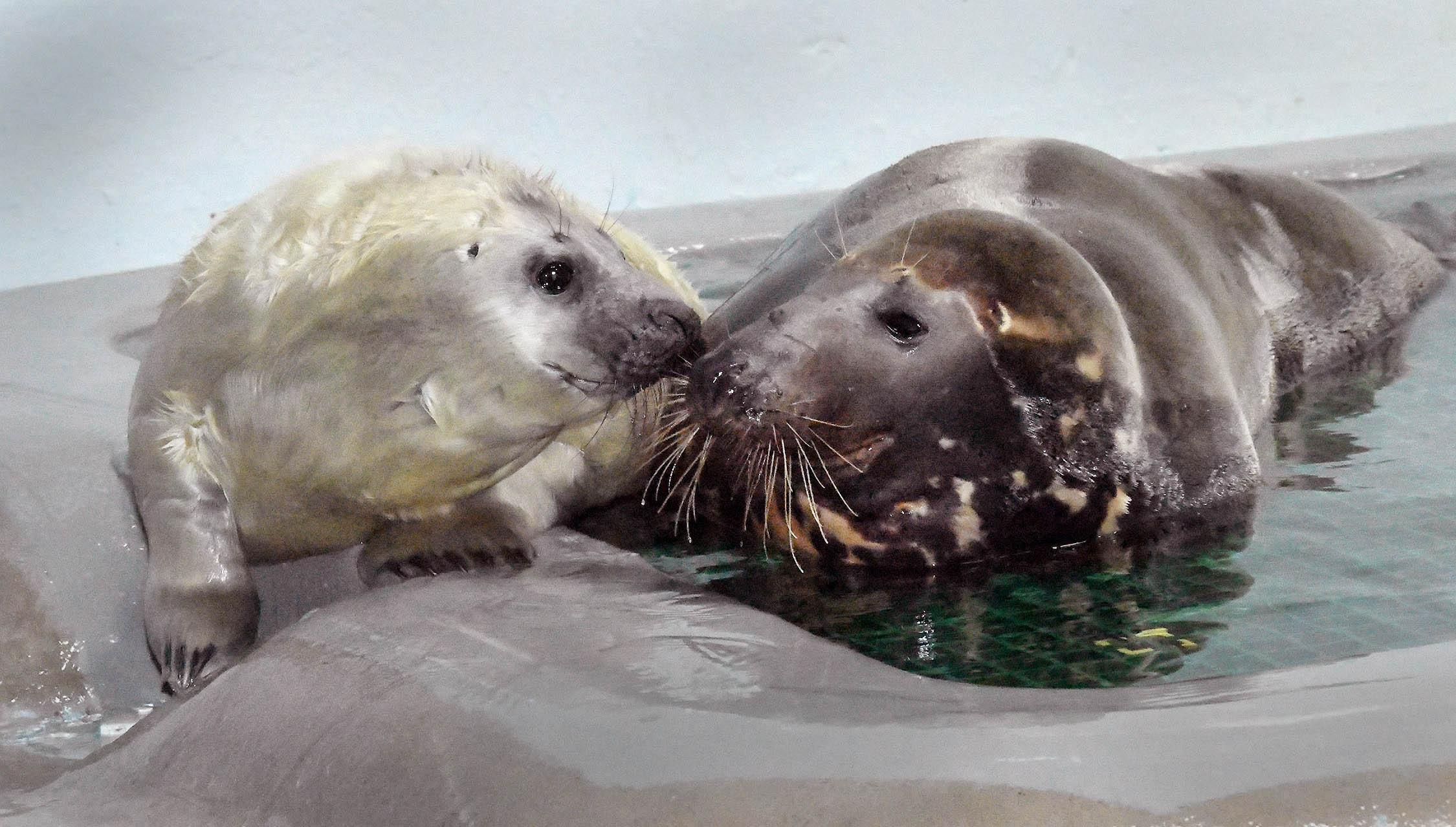 A male gray seal pup with his mother, 13-year-old Lily, at Brookfield Zoo. The pup was born on Dec. 26 and will remain behind the scenes until late February. (Jim Schulz / Chicago Zoological Society)
