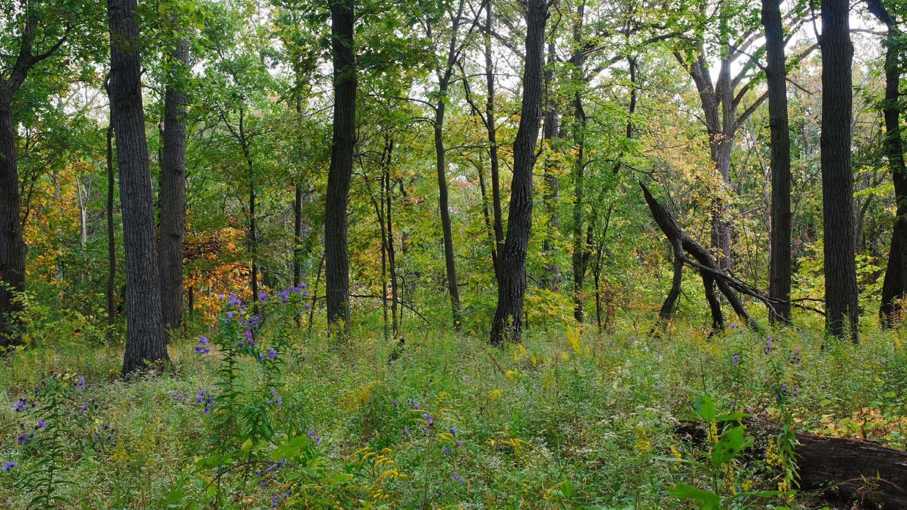 Harms Woods (Courtesy North Branch Restoration Project)