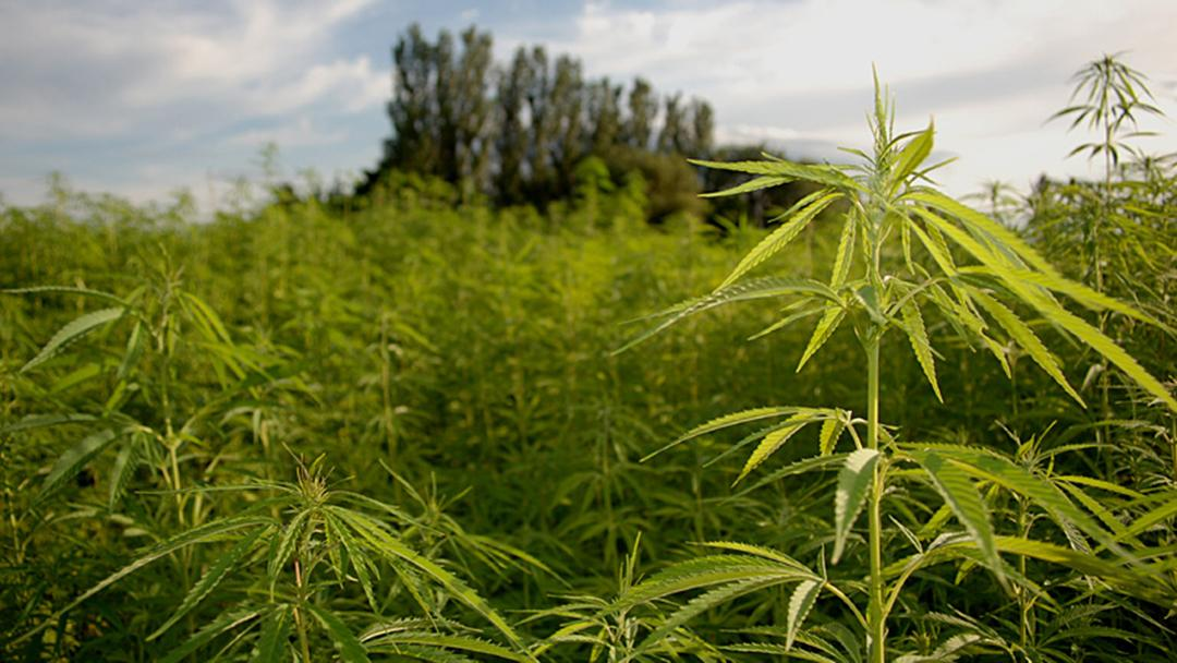 Illinois Issues Proposed Rules for Growing Industrial Hemp