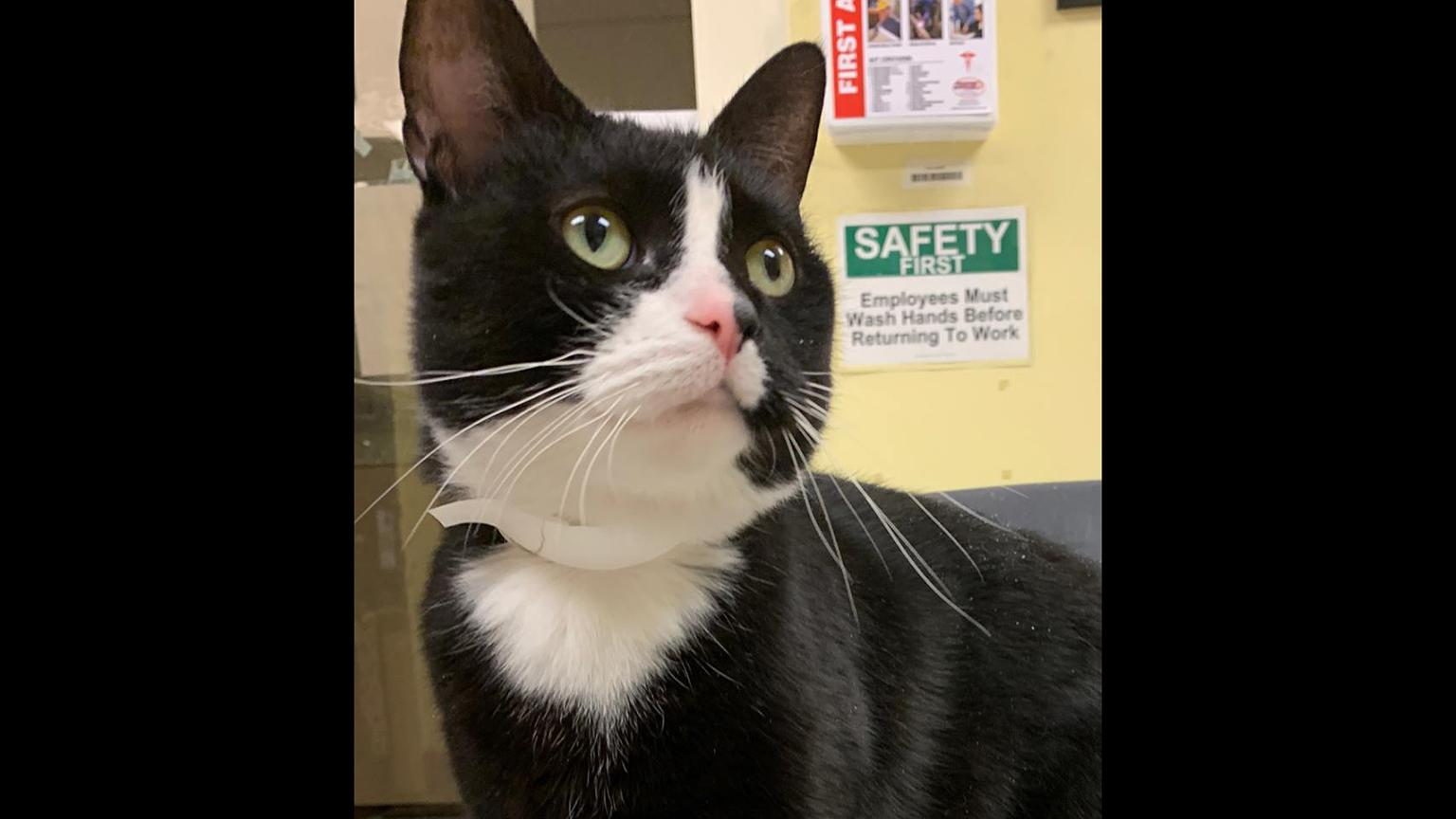 Max, a 3-year old cat available for adoption at CACC (Courtesy Chicago Animal Care and Control)