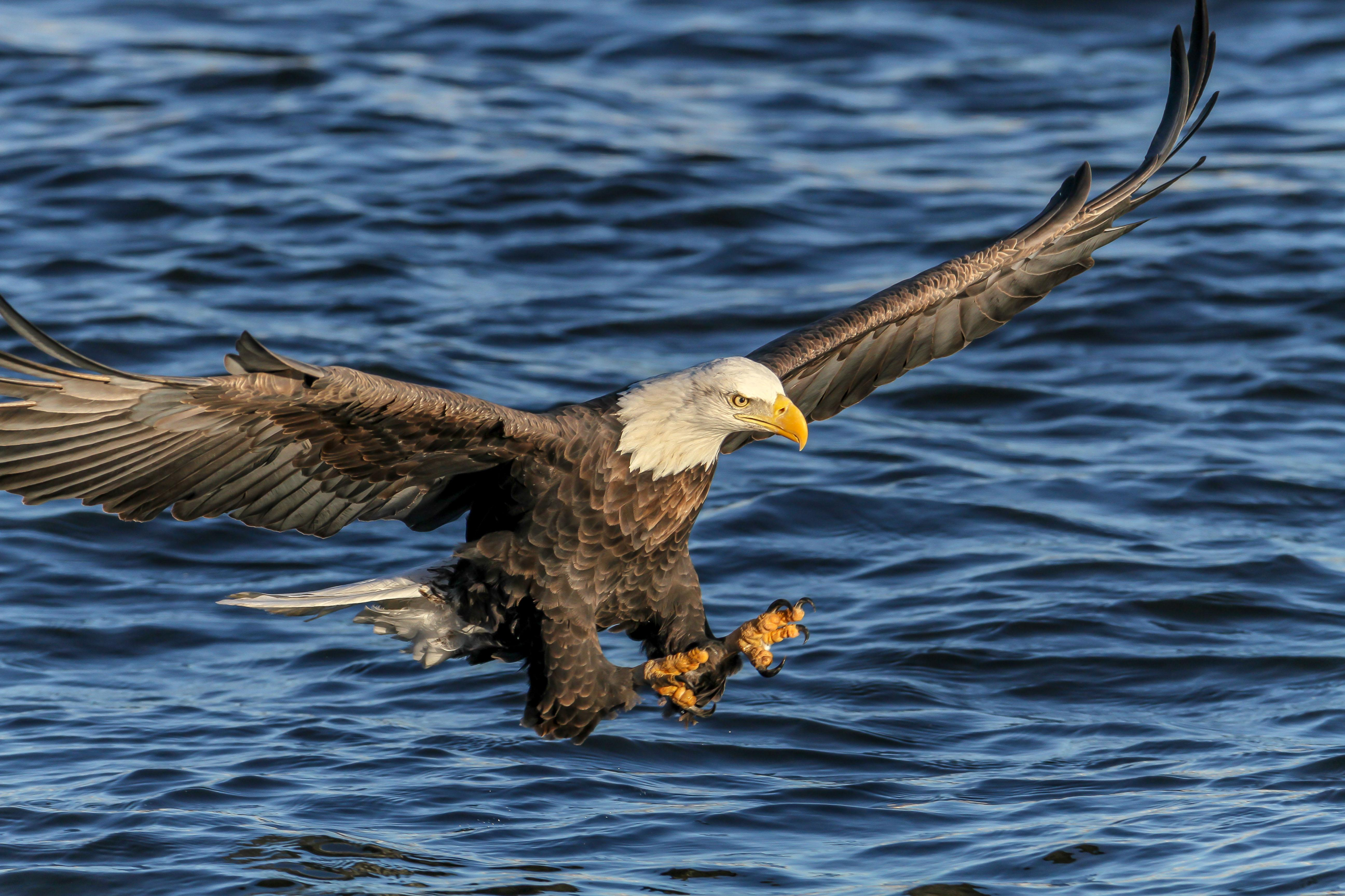 A bald eagle fishing on the Mississippi River. (Photo credit: Josh Feeney)