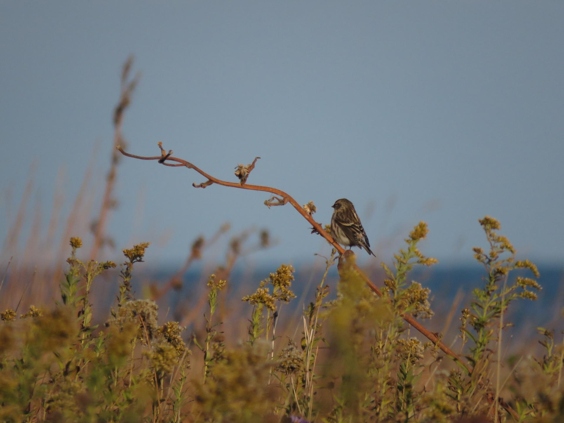 Pictured is a common redpoll, which is the 282nd bird species Isoo O'Brien spotted this year. (Credit: Isoo O'Brien)