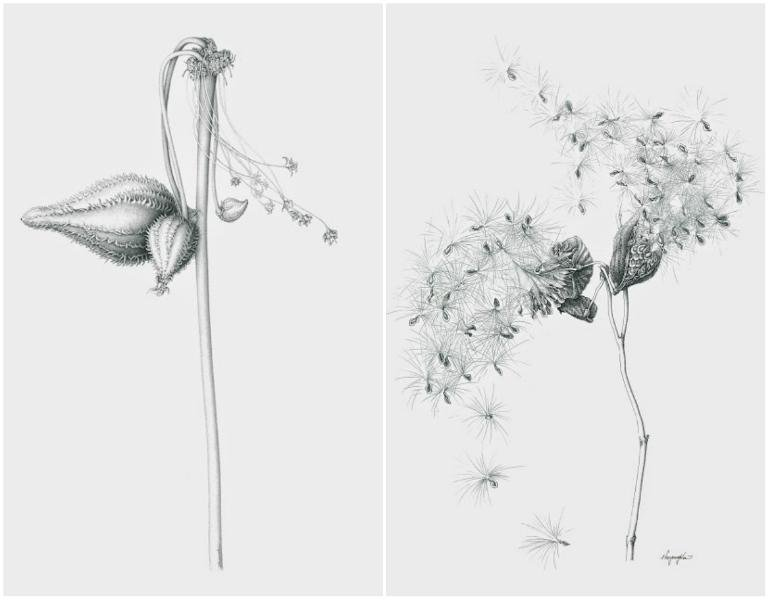 Left: Common milkweed in graphite pencil. Right: Common milkweed (Asclepias syriaca) in ink (Heeyoung Kim)