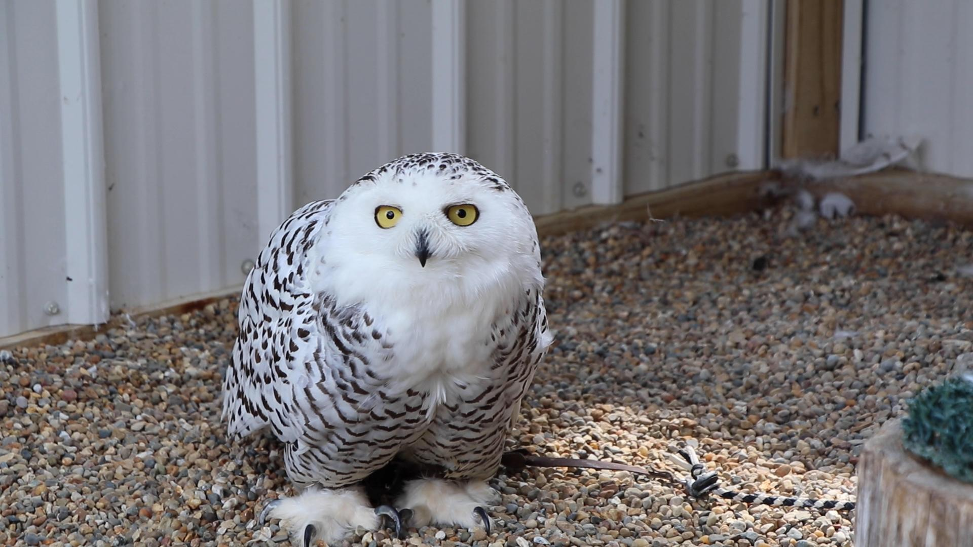 This snowy owl was bred in captivity in Canada and brought to the Illinois Raptor Center as a permanent resident. Unlike most owls, which are nocturnal, the snowy owl is active during the day. (Evan Garcia / WTTW News)