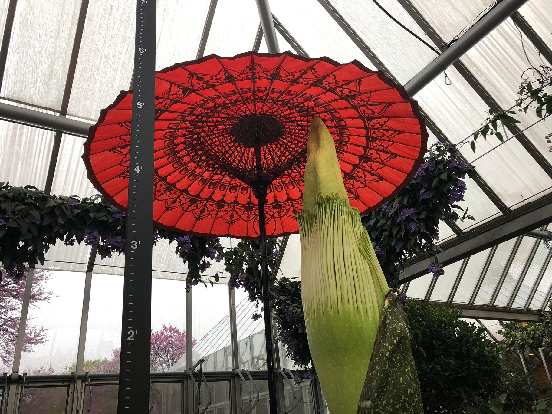 Java the corpse flower is on bloom watch at the Chicago Botanic Garden. (Alex Ruppenthal / WTTW News)