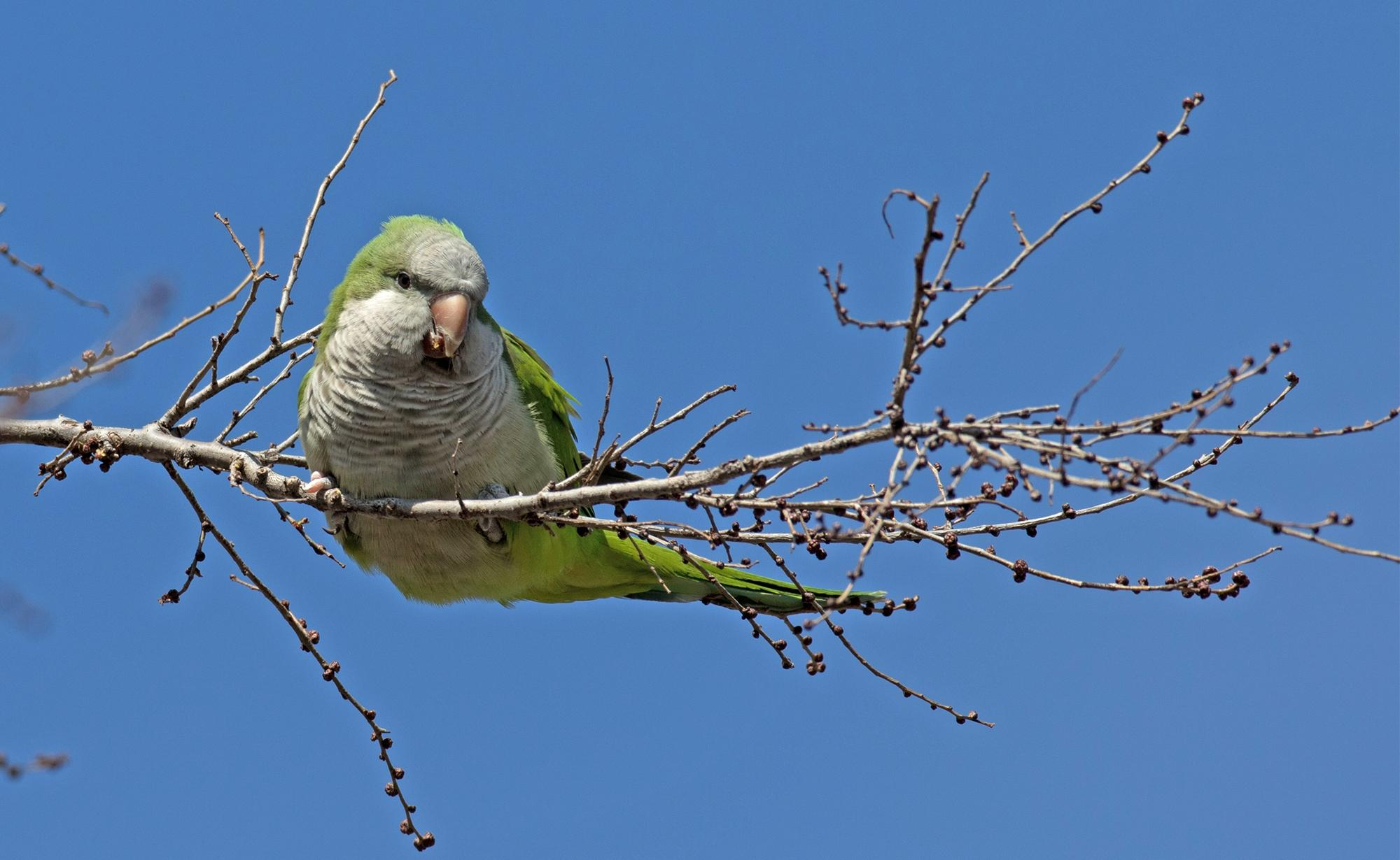 Why Are Monk Parakeets Leaving Hyde Park? | Chicago News | WTTW
