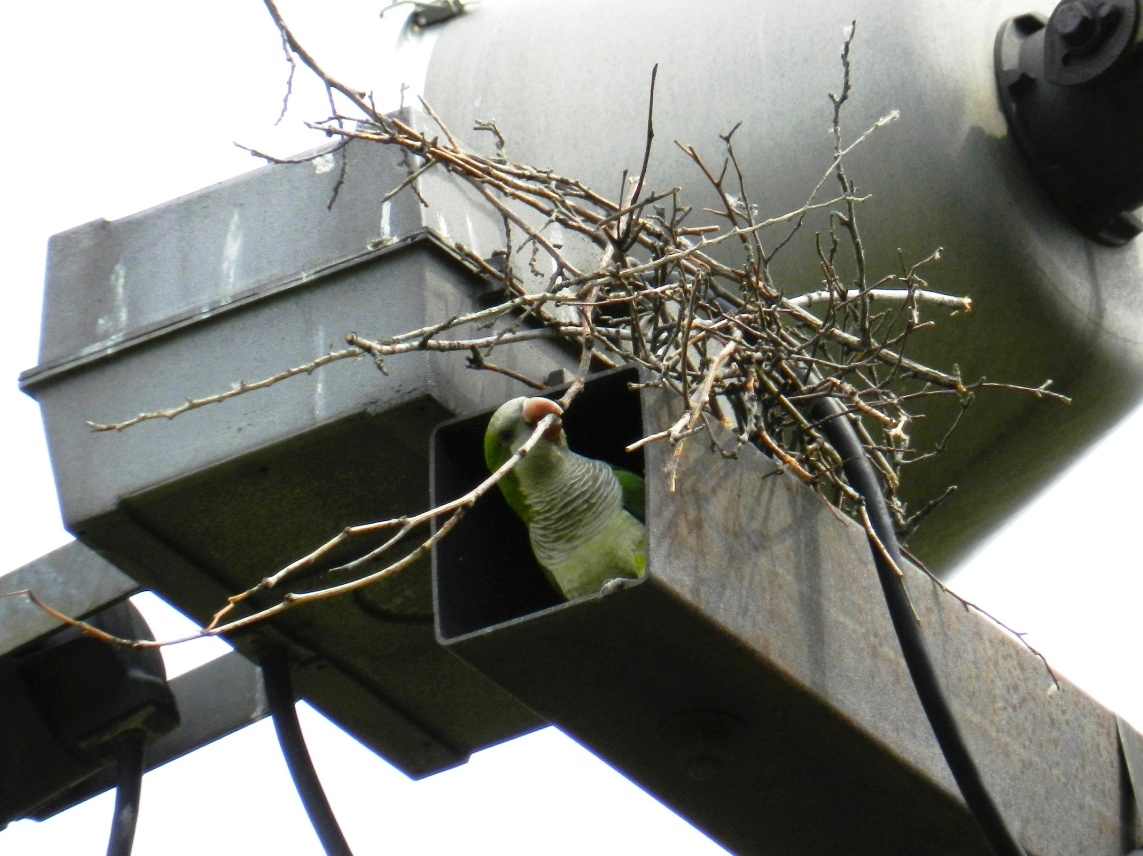 Monk parakeets are attracted to man-made structures like utility poles, where they have been known to build their nests. (John Iwanski / Flickr)