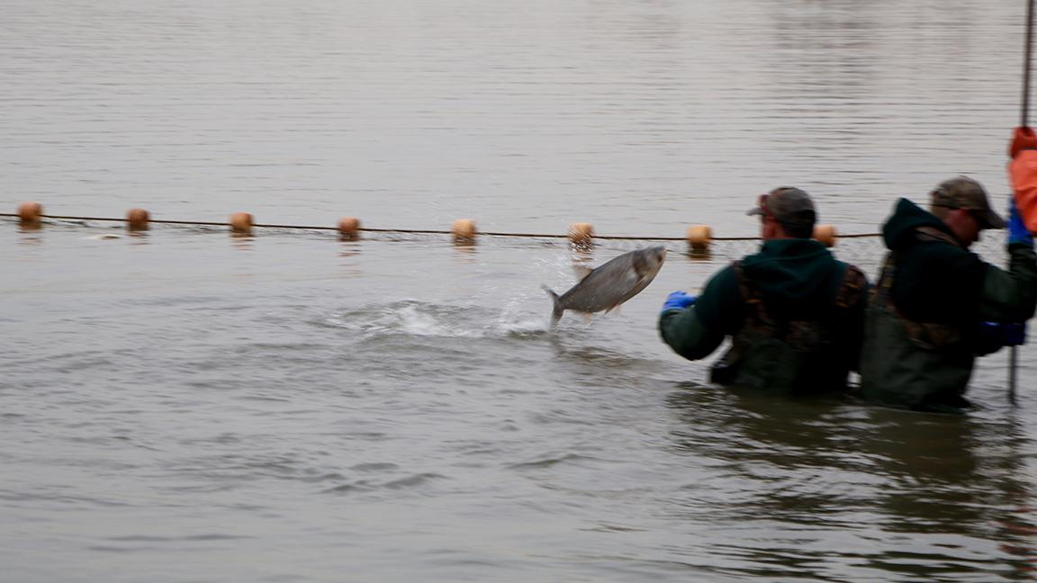 Photos capturing the invasive asian carp in the illinois for Seine net fishing