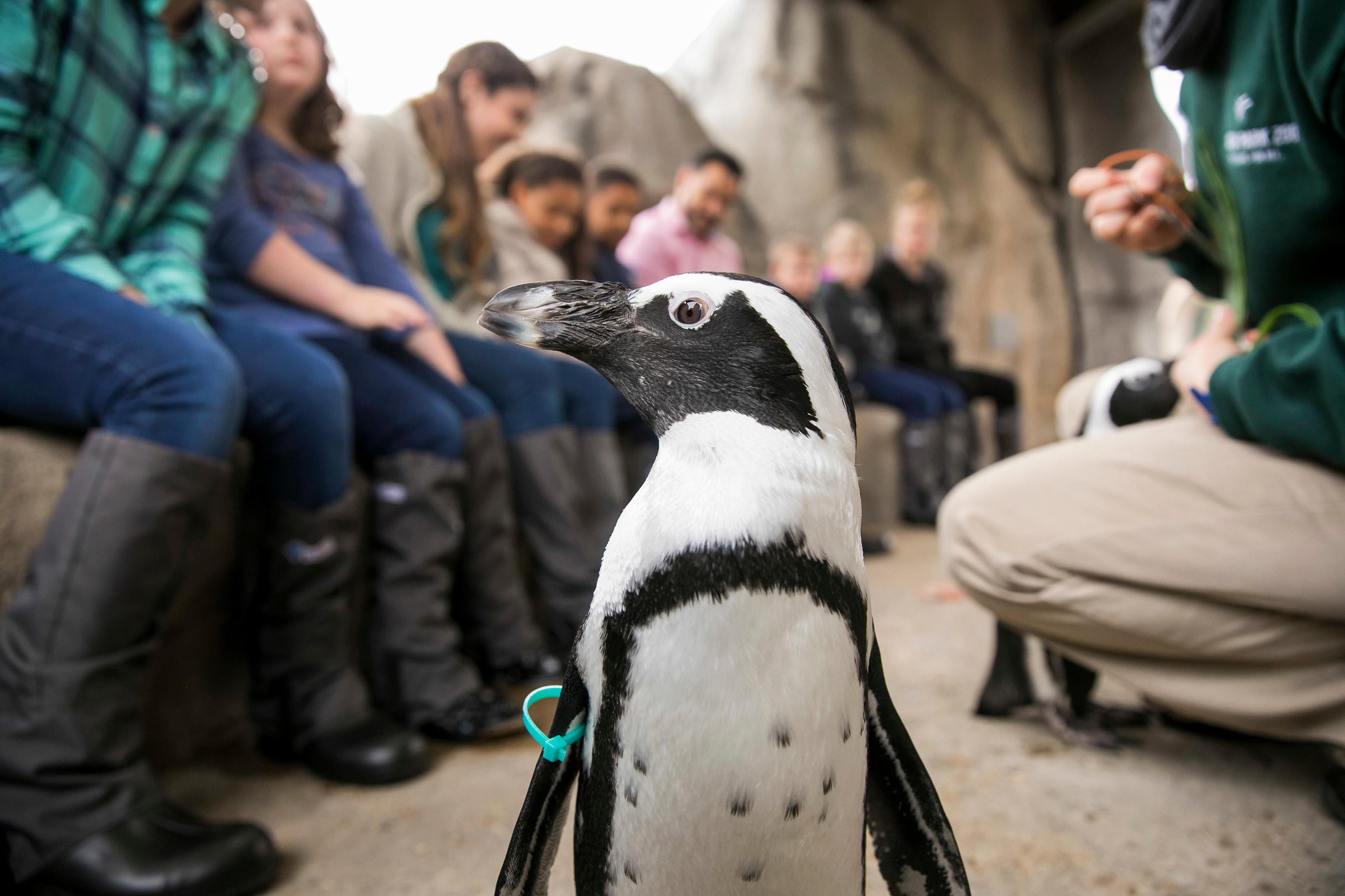 Aje, a 2-year-old male penguin at Lincoln Park Zoo. (Todd Rosenberg / Lincoln Park Zoo)
