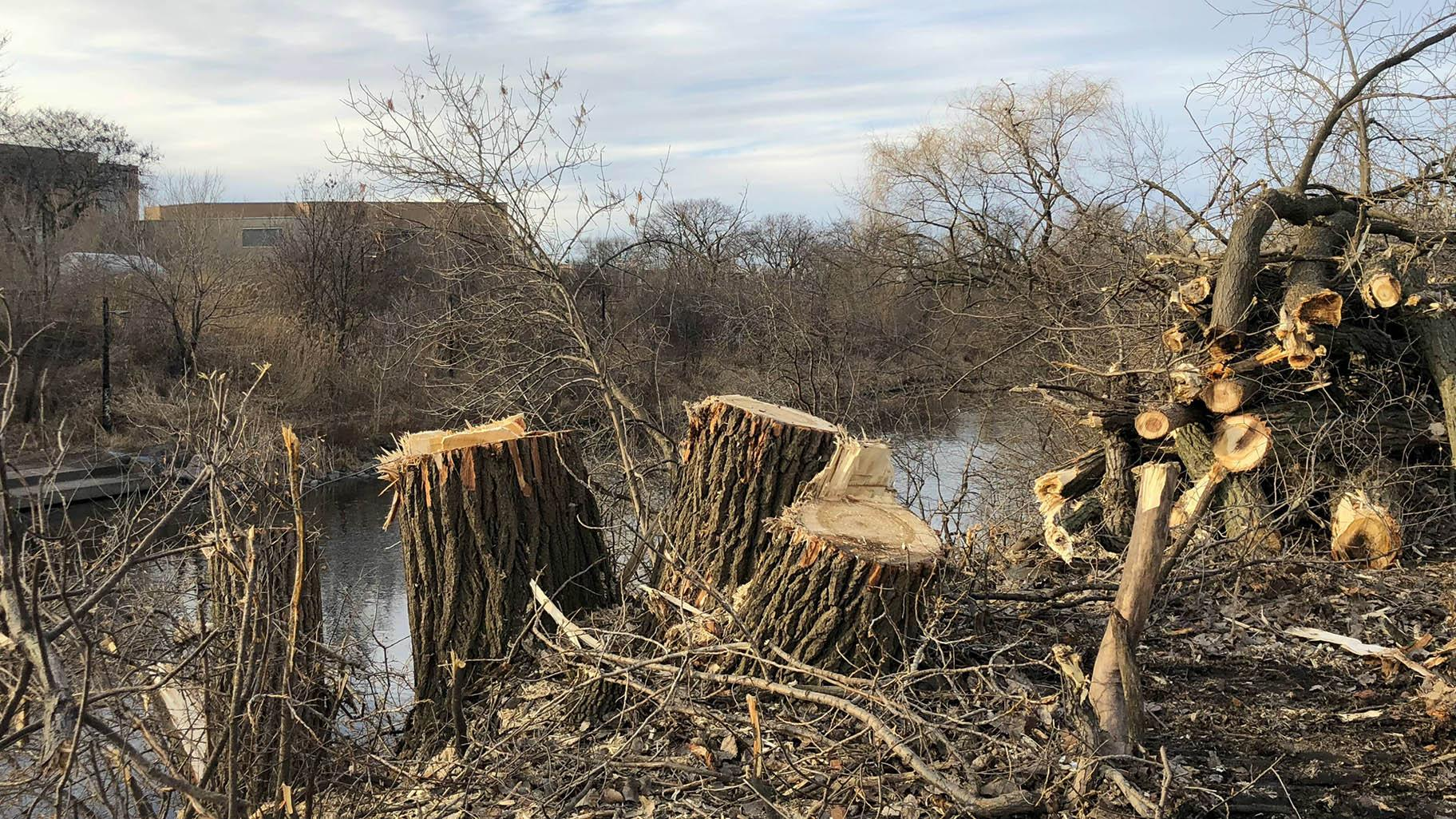 The east bank of the North Shore Channel has been stripped of foliage in Legion Park as part of a habitat restoration project. (Patty Wetli / WTTW News)