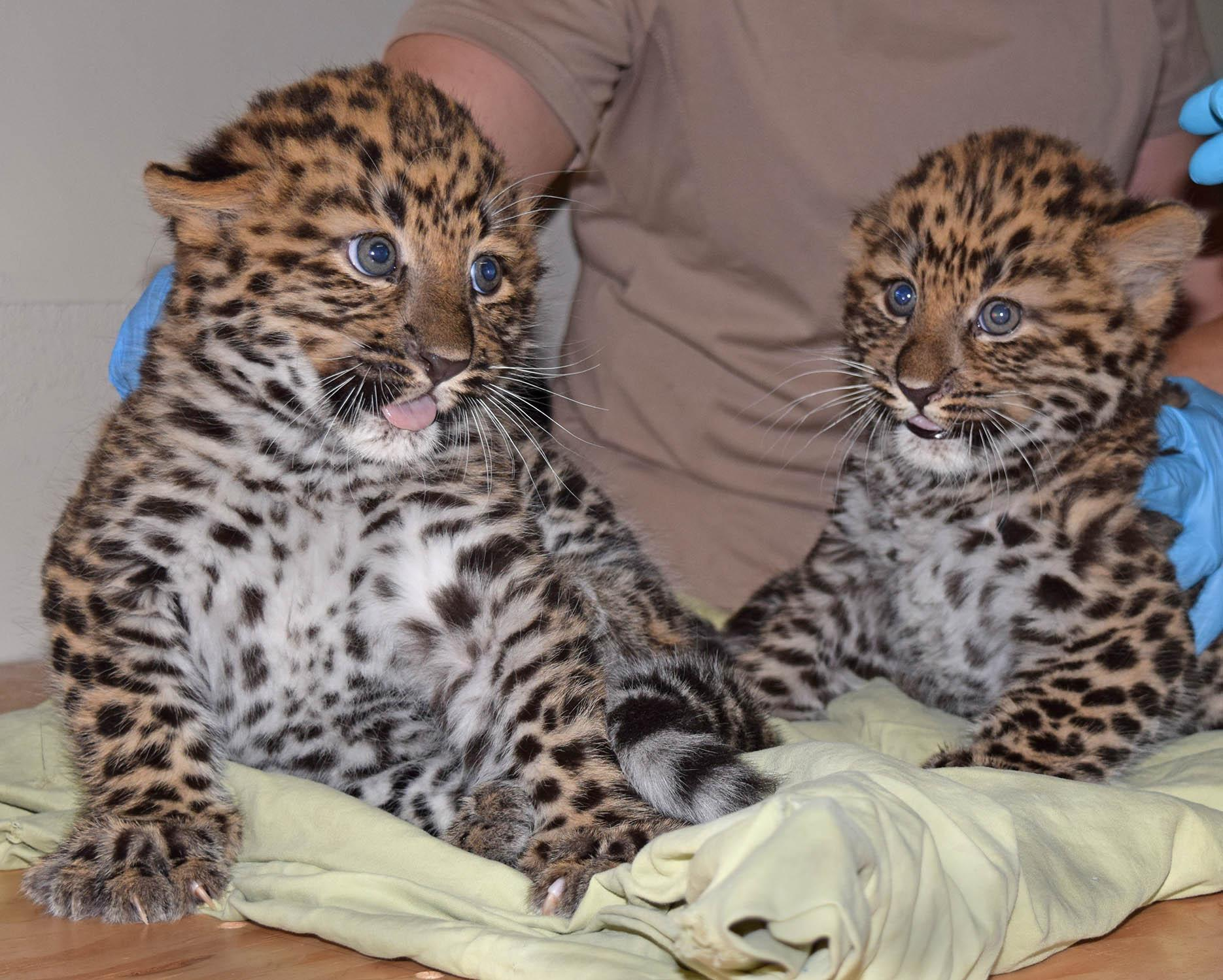 Brookfield Zoo's two newborn Amur lopeard cubs are currently living behind the scenes with their mother but will make their public debut in mid-July. (Cathy Bazzoni / Chicago Zoological Society)
