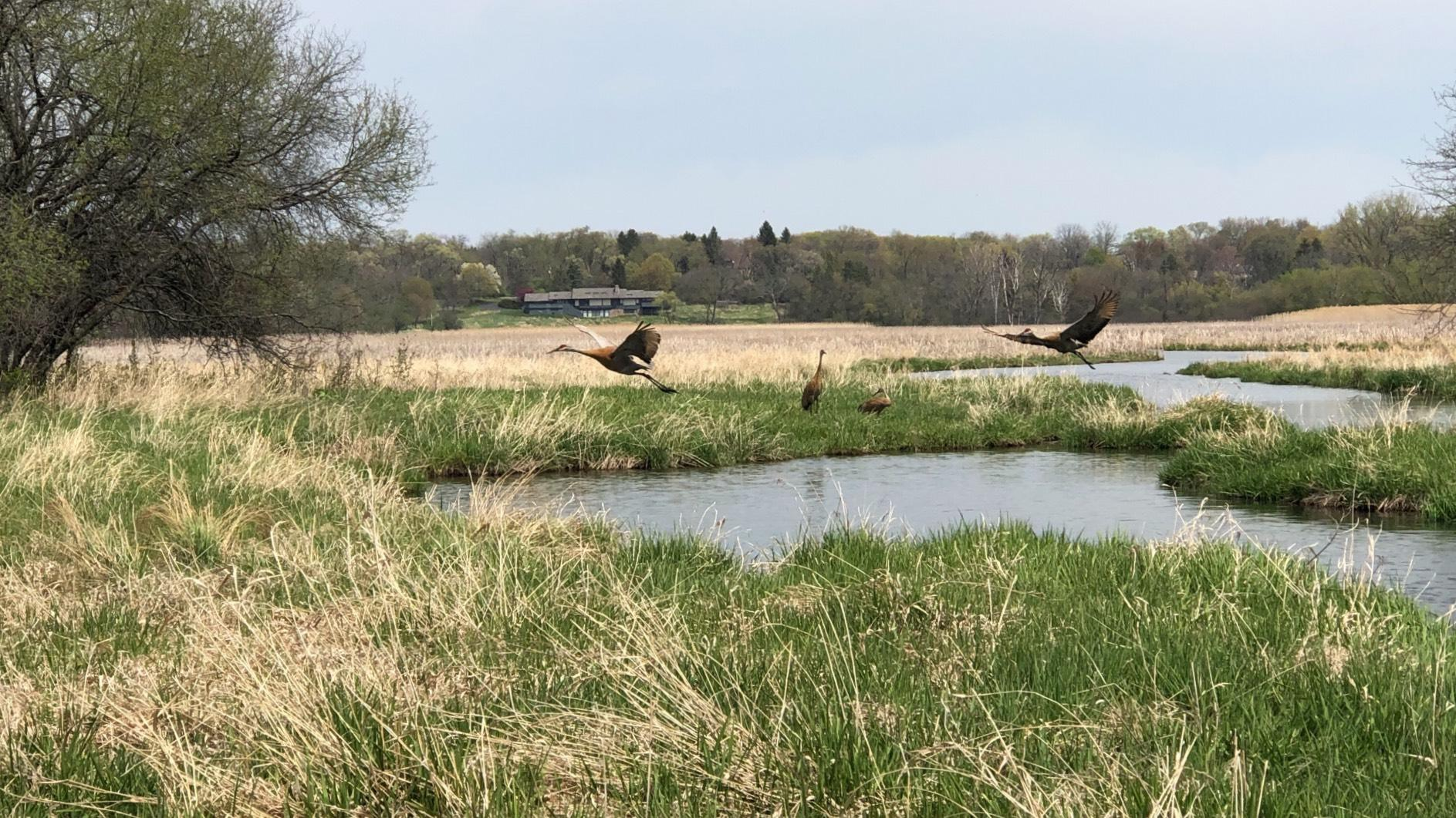 Sandhill cranes fly in the Spring Lake Nature Reserve. (Patty Wetli / WTTW News)