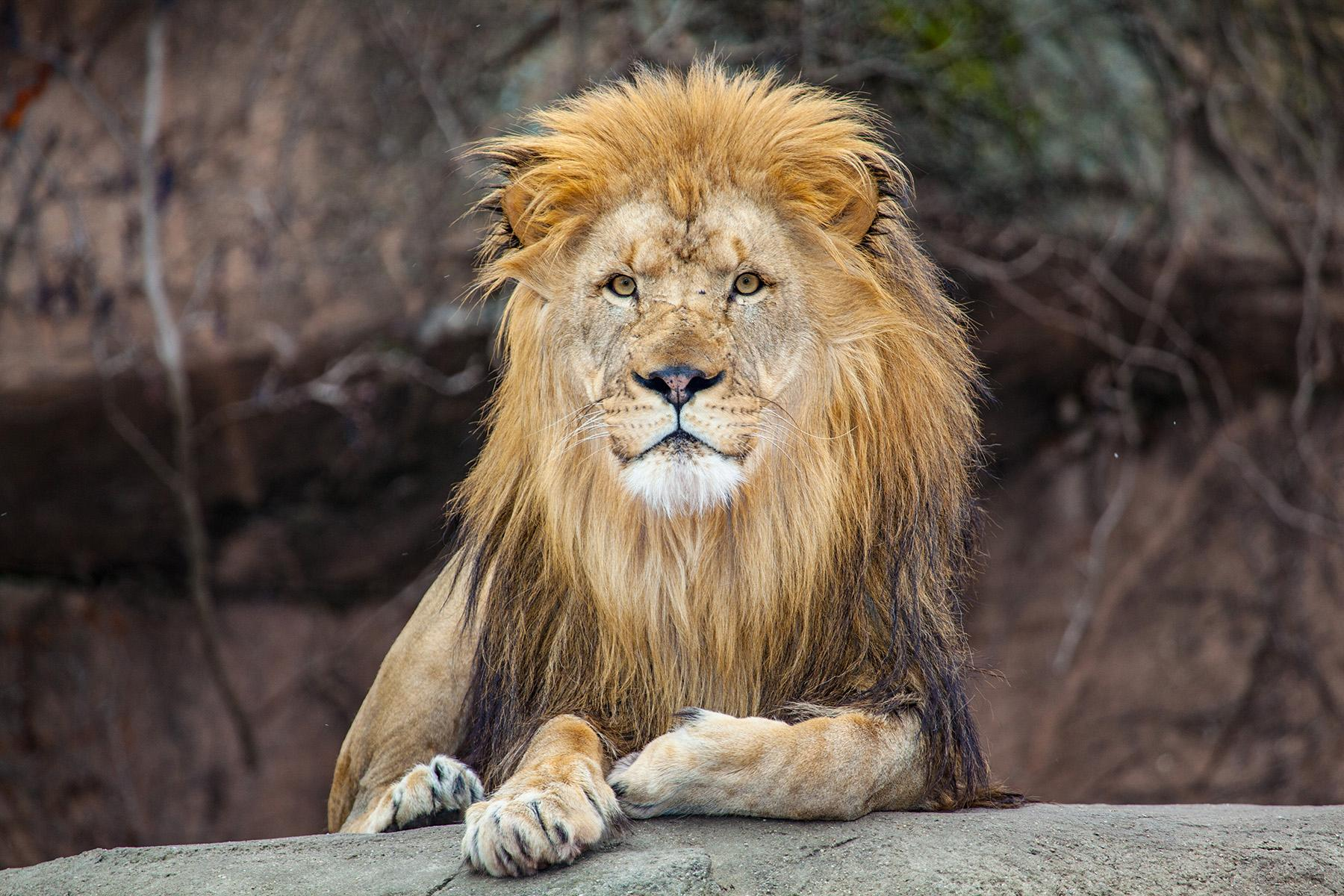 Sahar, a 9-year-old male lion at Lincoln Park Zoo (Courtesy Lincoln Park Zoo)