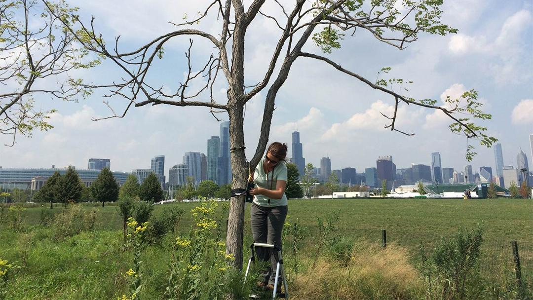 Lincoln Park Zoo's Liza Lehrer attaches a microphone designed to detect bat calls to a tree in Chicago. (Lincoln Park Zoo)
