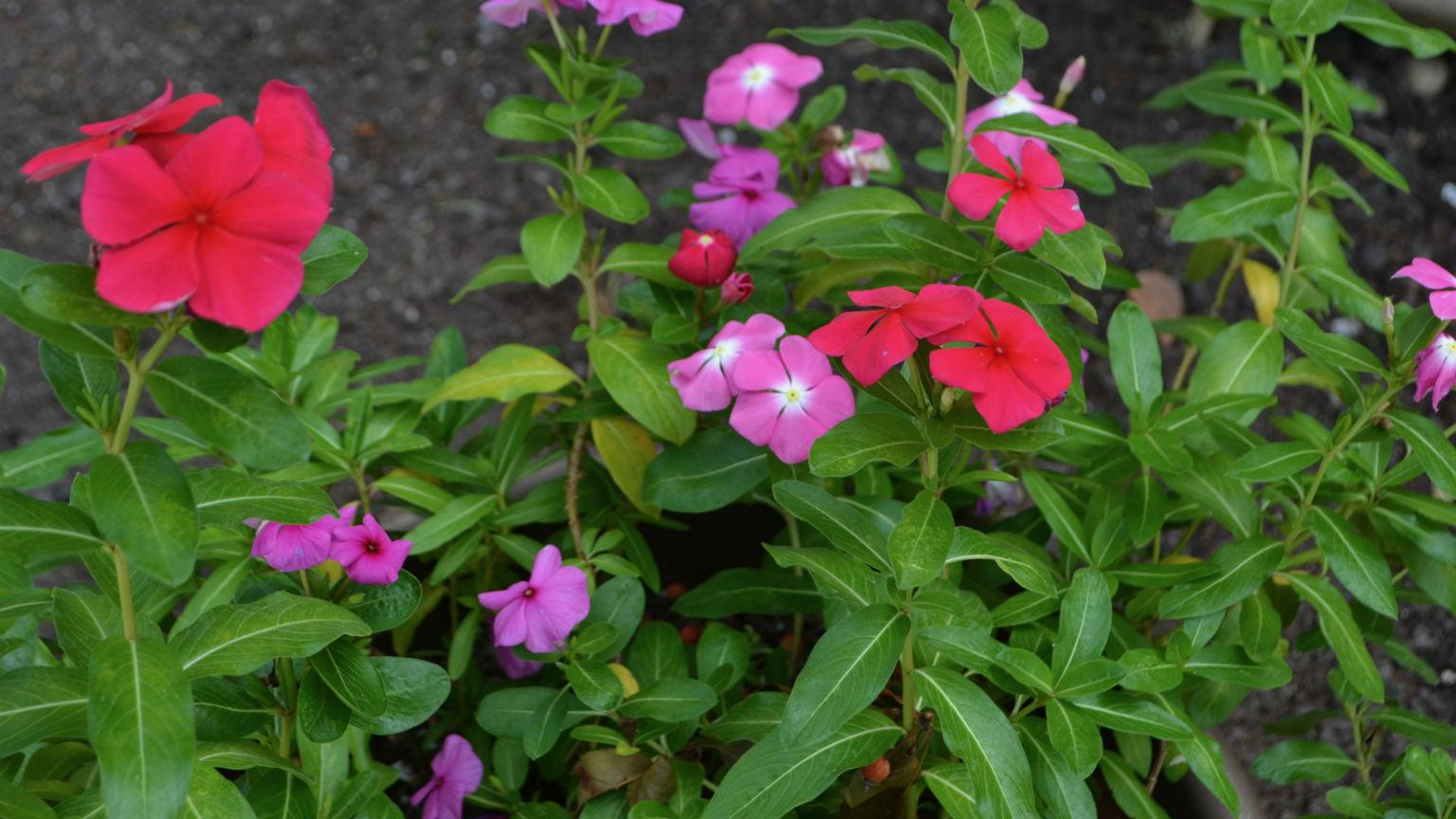 "Described by Doel Sojearto as the ""icon of the garden,"" the study of Madagascar periwinkle has led to the development of two different drugs that are used to treat a variety of cancers. (Kristen Thometz / Chicago Tonight)"