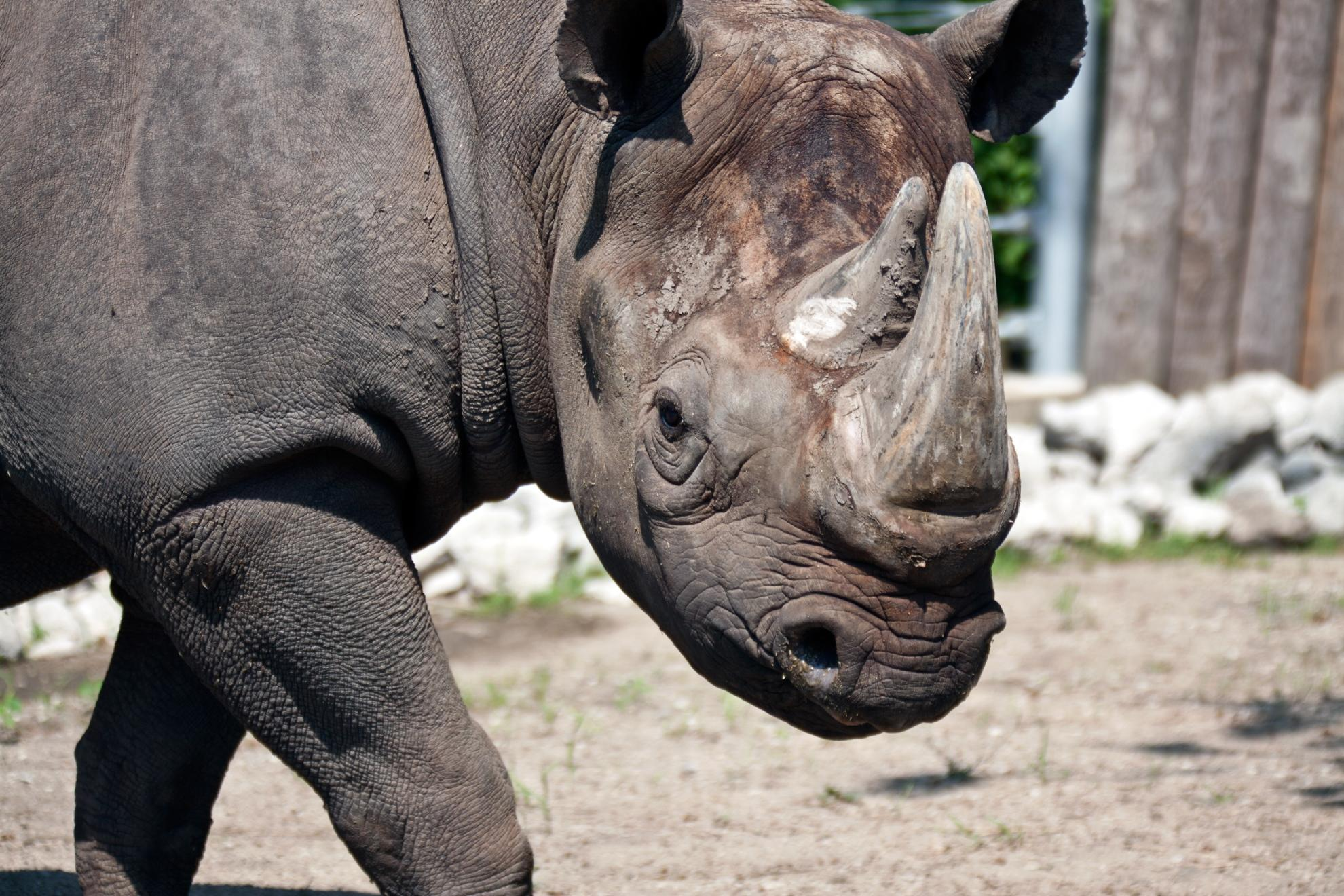 North Park Lincoln >> Critically Endangered Black Rhino Celebrates Milestone at Lincoln Park Zoo | Chicago Tonight | WTTW