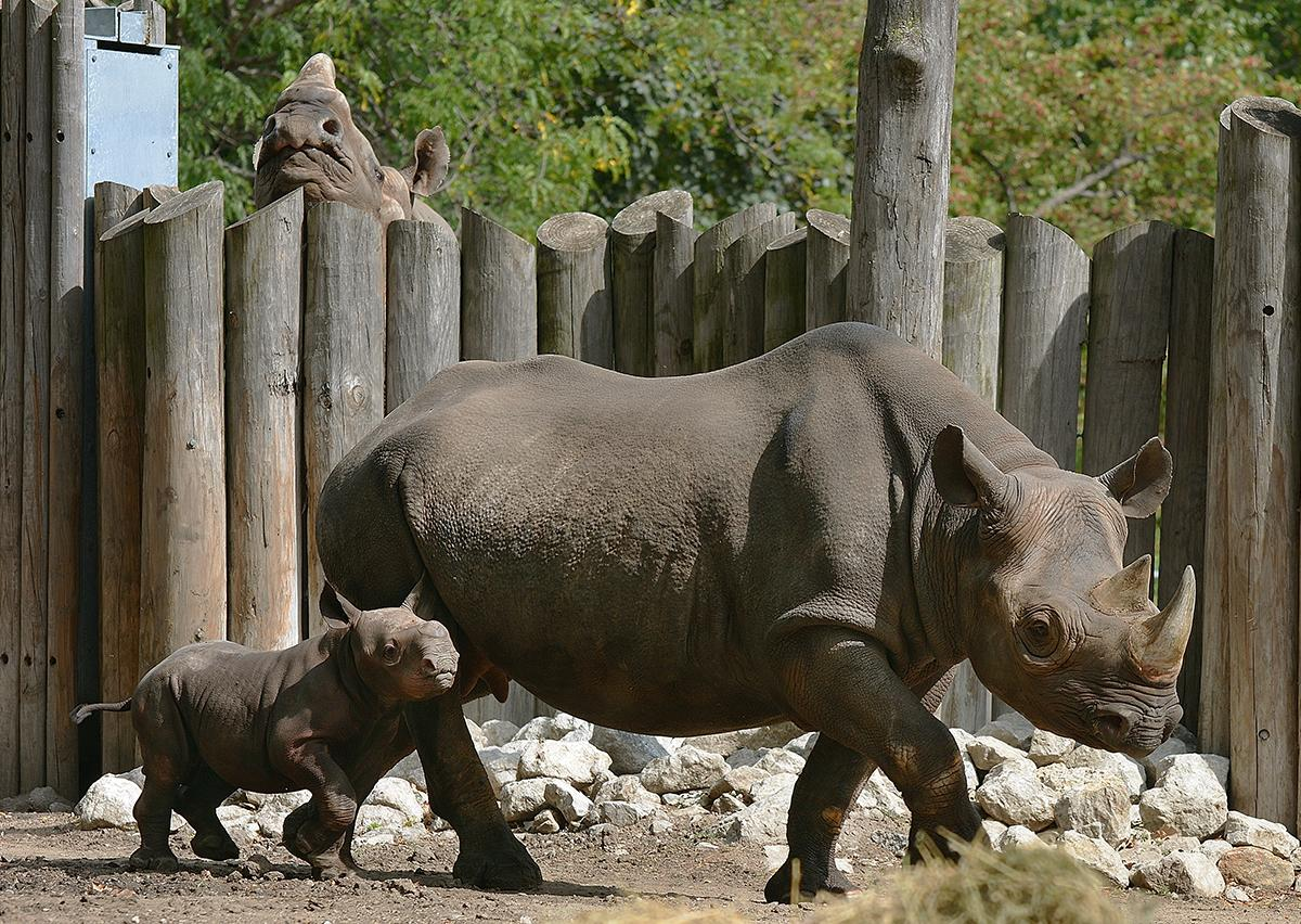 Kapuki and son King in November 2013 (Laszlo Szilagyi / Lincoln Park Zoo)