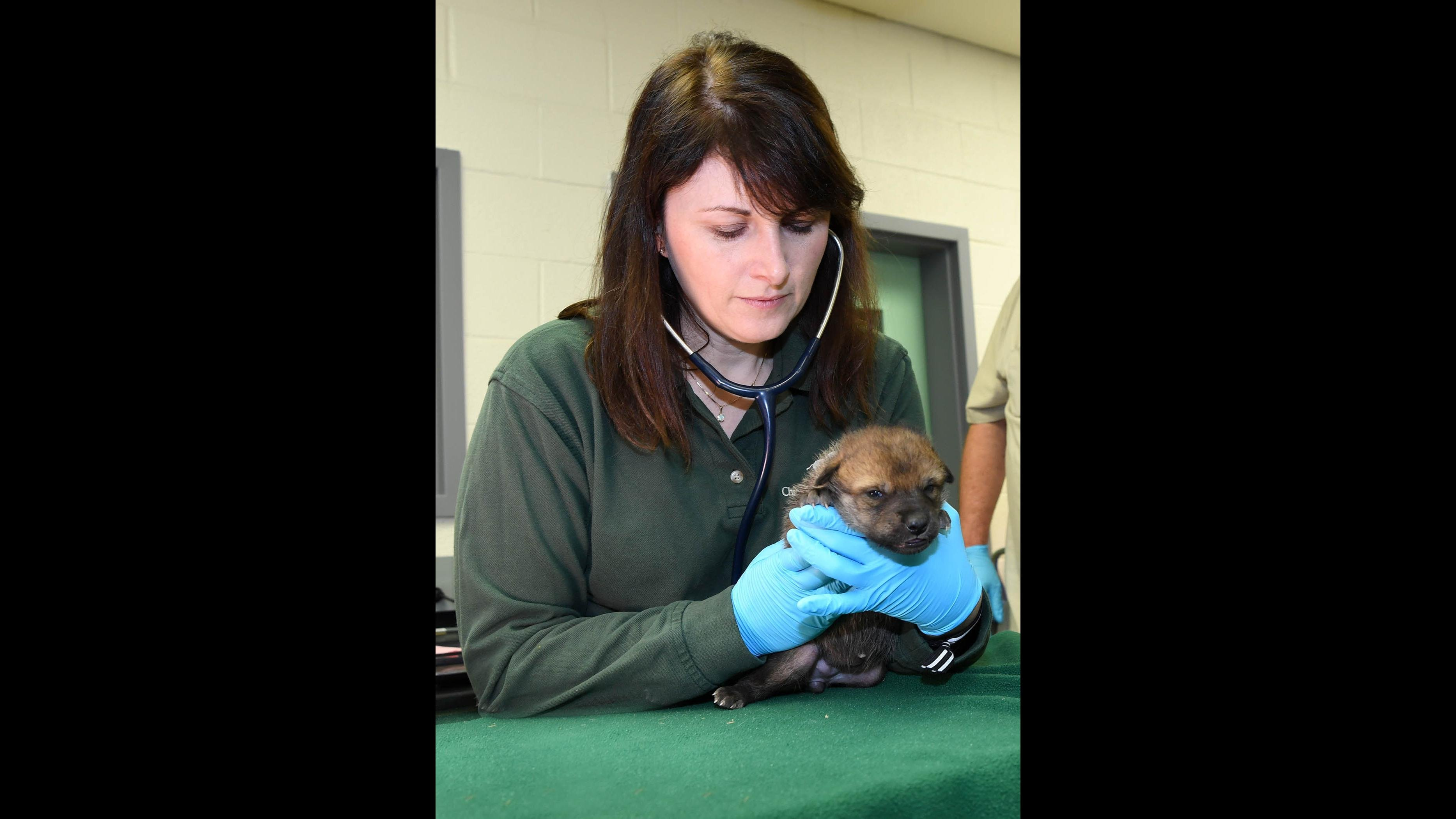 Dr. Copper Aitken-Palmer, associate veterinarian for the Chicago Zoological Society, performs a neonatal examination on a Mexican gray wolf puppy born at Brookfield Zoo on April 22. (Mexican Wolf Interagency Field Team / Chicago Zoological Society)