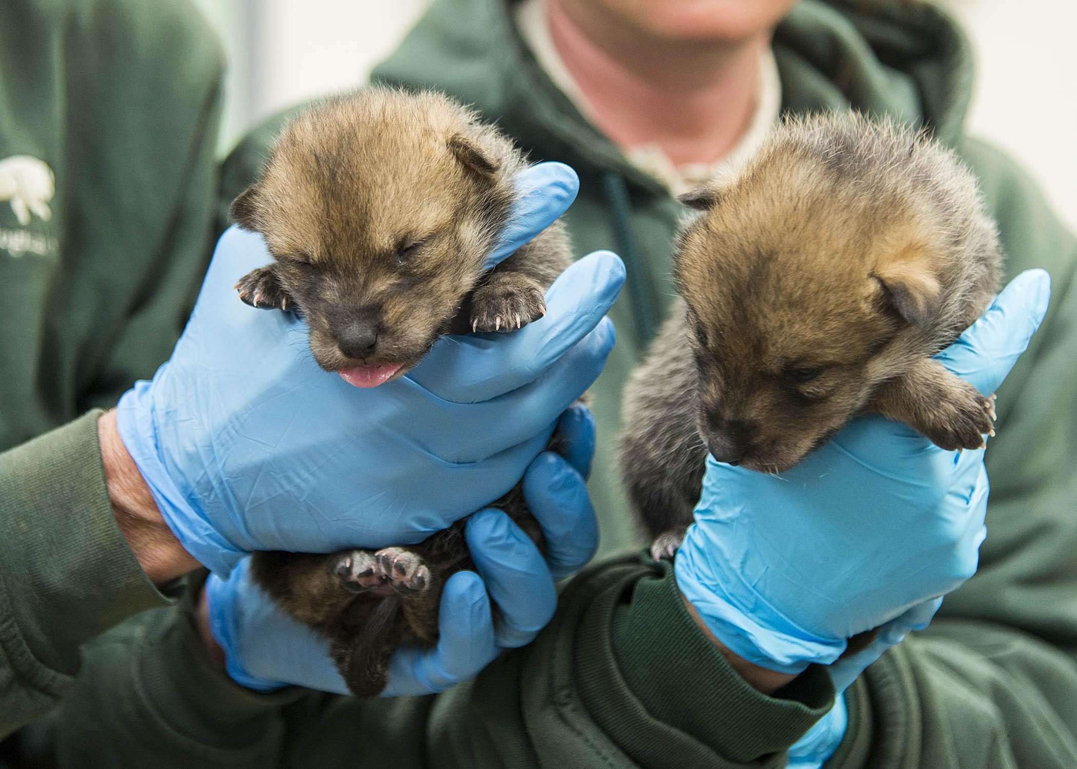 Two wild-born Mexican gray wolf puppies arrived at Brookfield Zoo in May as part of the U.S. Fish & Wildlife Service's recovery program for the species. (Mexican Wolf Interagency Field Team / Chicago Zoological Society)
