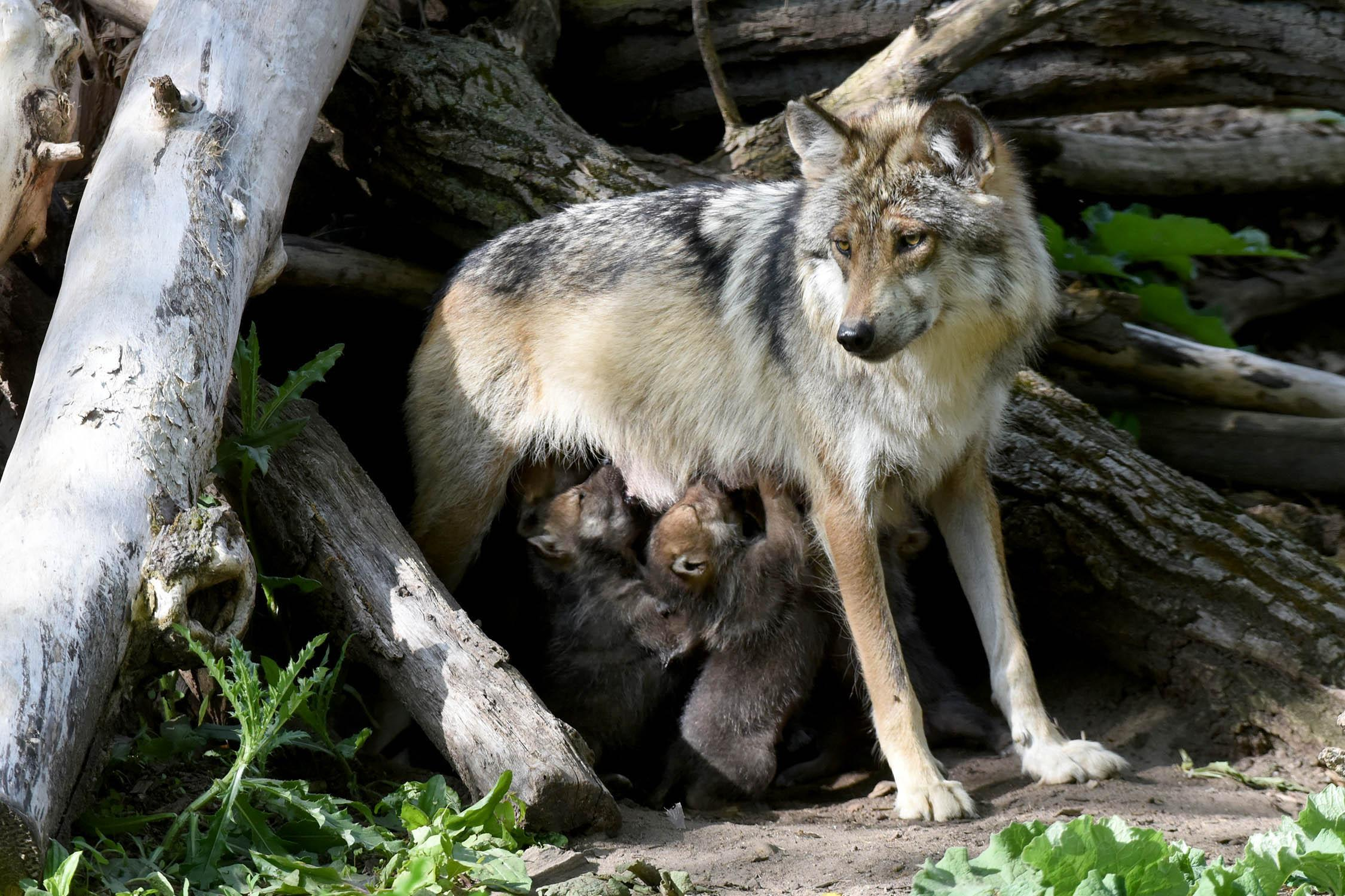 Mexican gray wolf Zana gave birth to five pups in April. Two of the pups were transferred from the zoo and placed in the den of the San Mateo wolf pack in New Mexico. (Courtesy Chicago Zoological Society)