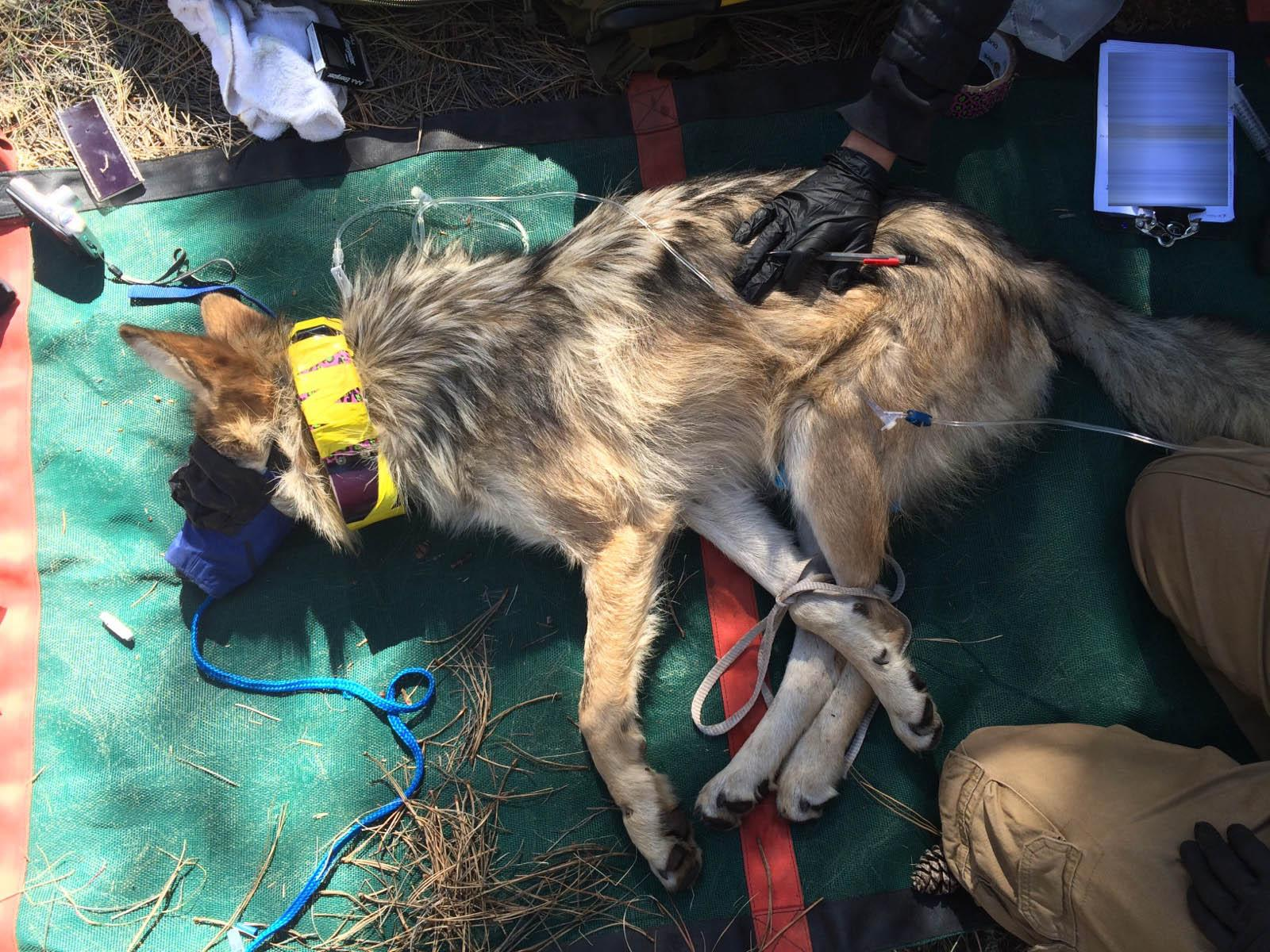 Connie, a Mexican wolf born at Brookfield Zoo, is outfitted with a GPS radio collar by workers from the U.S. Fish and Wildlife Service. (Courtesy U.S. Fish and Wildlife Service Interagency Field Team)
