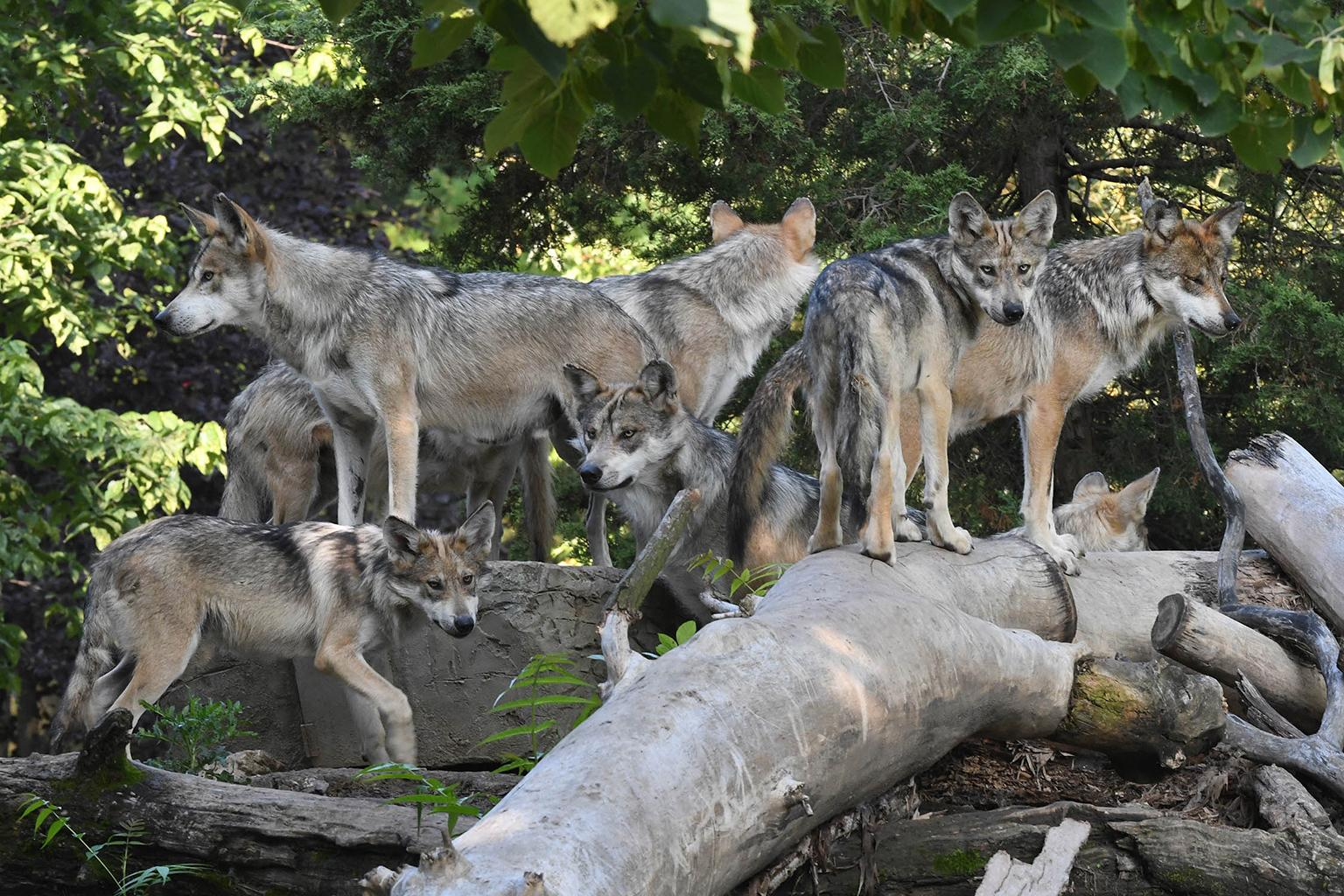 Nine of the 10 Mexican wolves currently at Brookfield Zoo will be leaving this month based on recommendations from the Association of Zoos and Aquariums' Species Survival Plan and the U.S. Fish and Wildlife Service's Mexican Wolf Recovery Program. (Jim Schulz / Chicago Zoological Society)