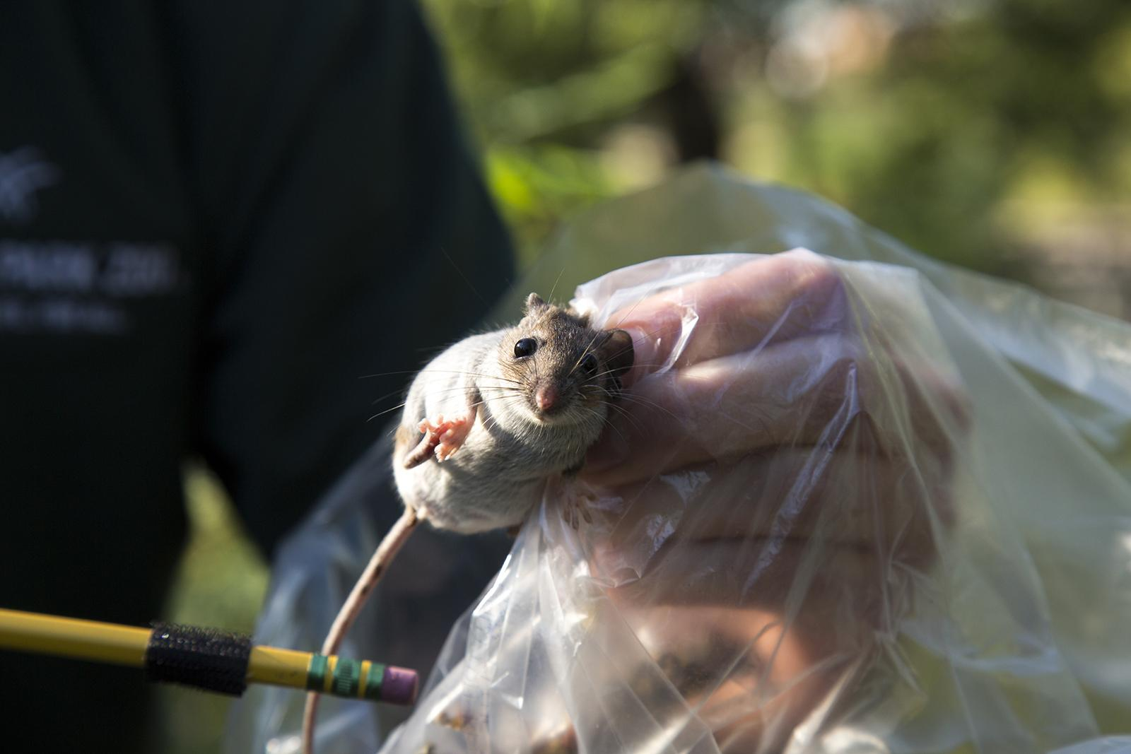 An ongoing Lincoln Park Zoo study aims to examine how communities of of mice and other small mammals fare in Chicago compared to its suburbs. (Jillian Braun / Lincoln Park Zoo)
