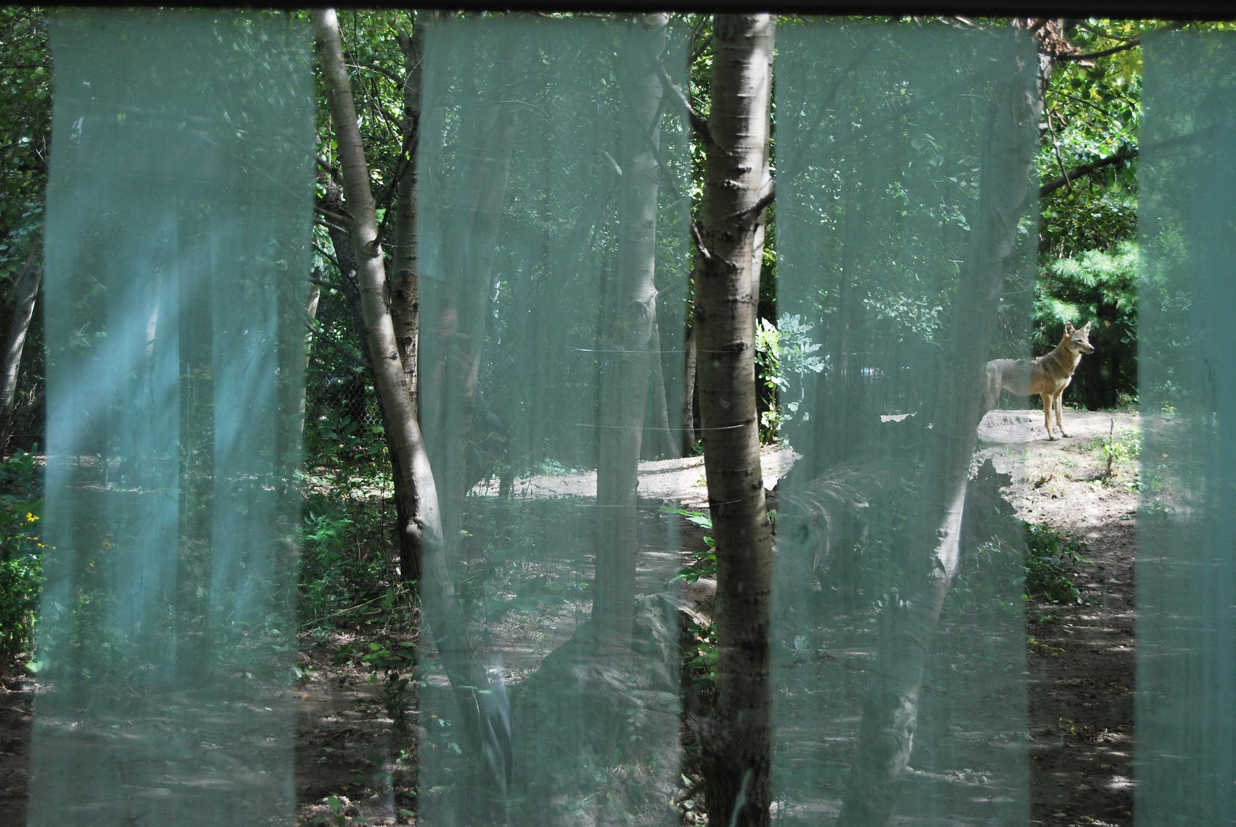 A soaped glass viewing wall at the Pritzker Family Children's Zoo red wolf exhibit. (Courtesy Lincoln Park Zoo)
