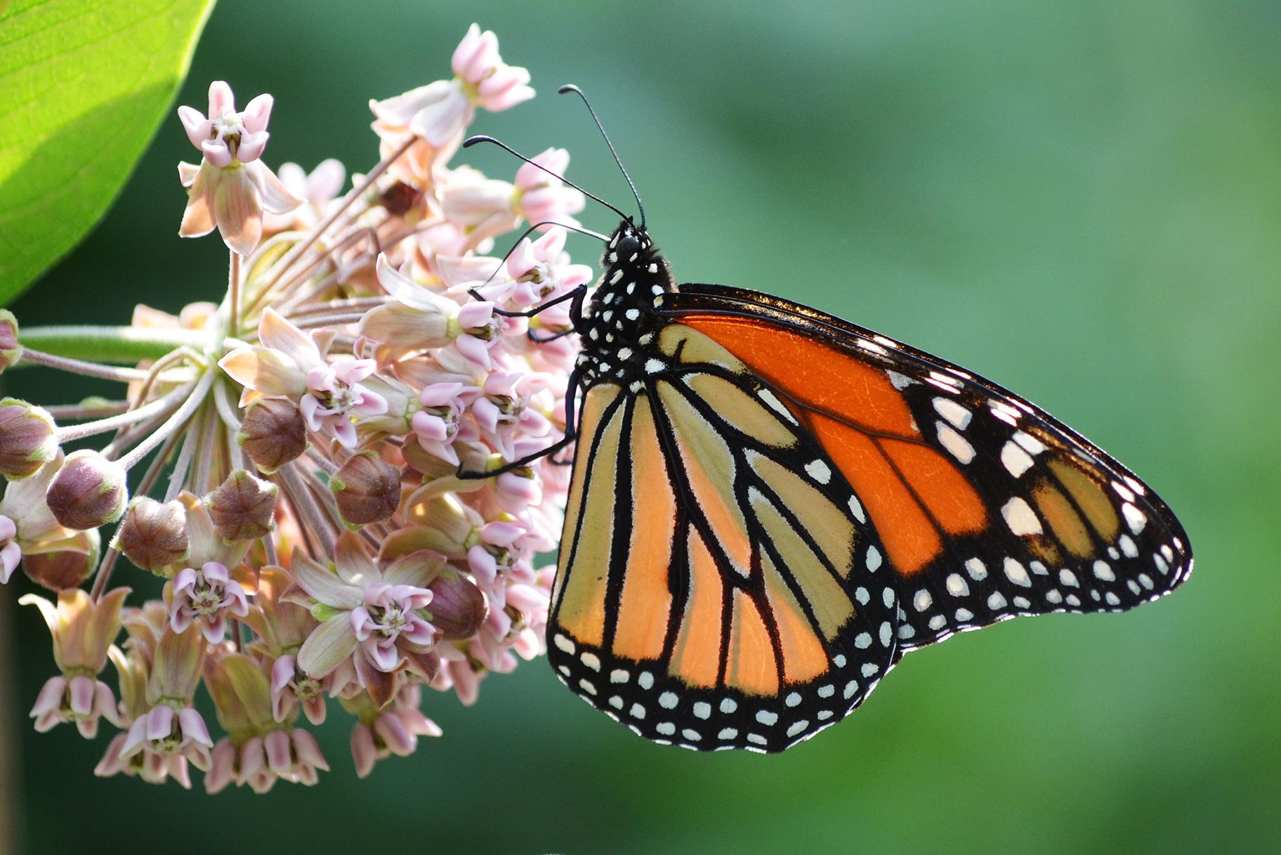 A monarch butterfly on a common milkweed plant (Mark Rogovin / The Field Museum)