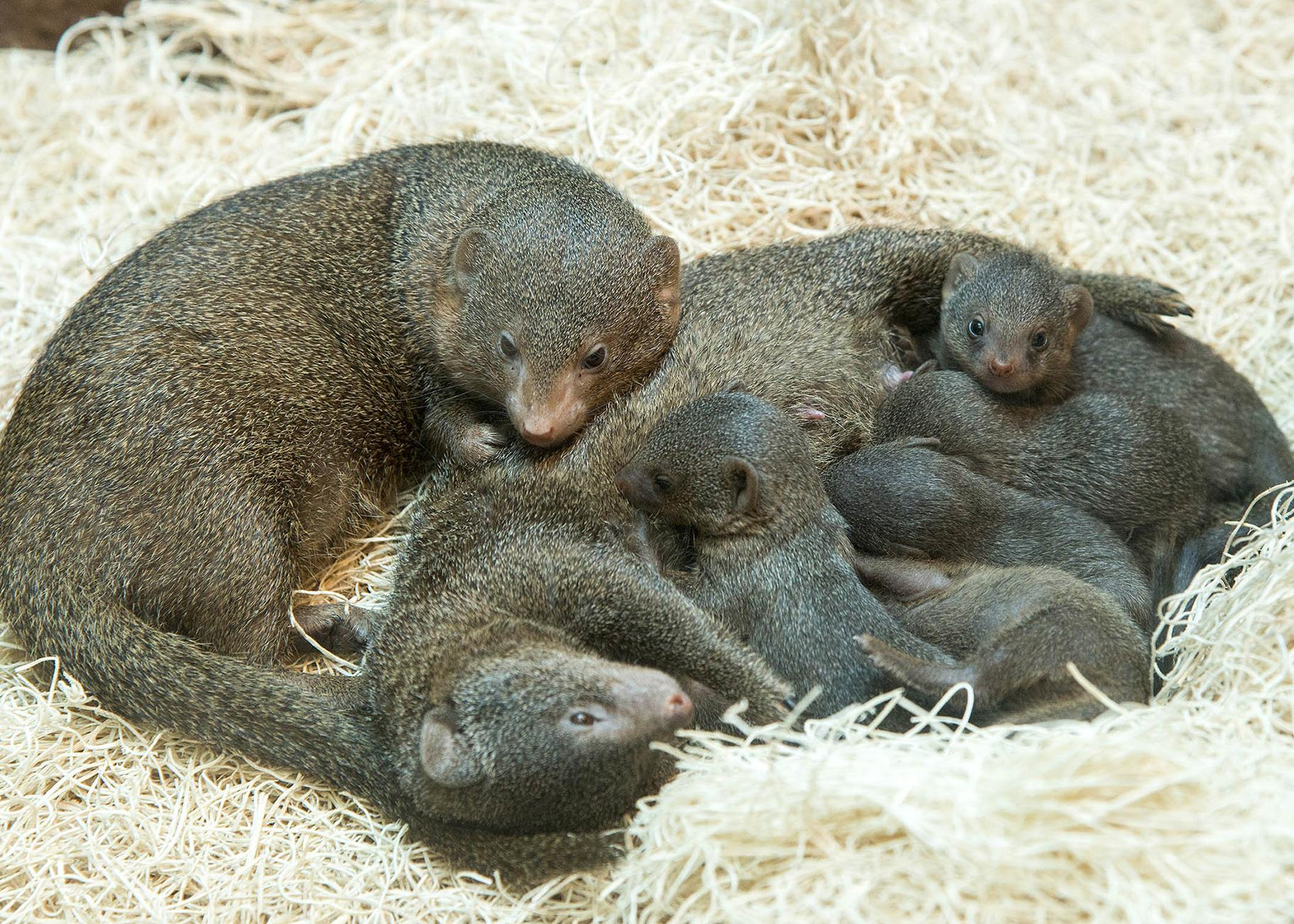 Five mongoose pups were born on May 20 at Brookfield Zoo. (Courtesy Chicago Zoological Society)