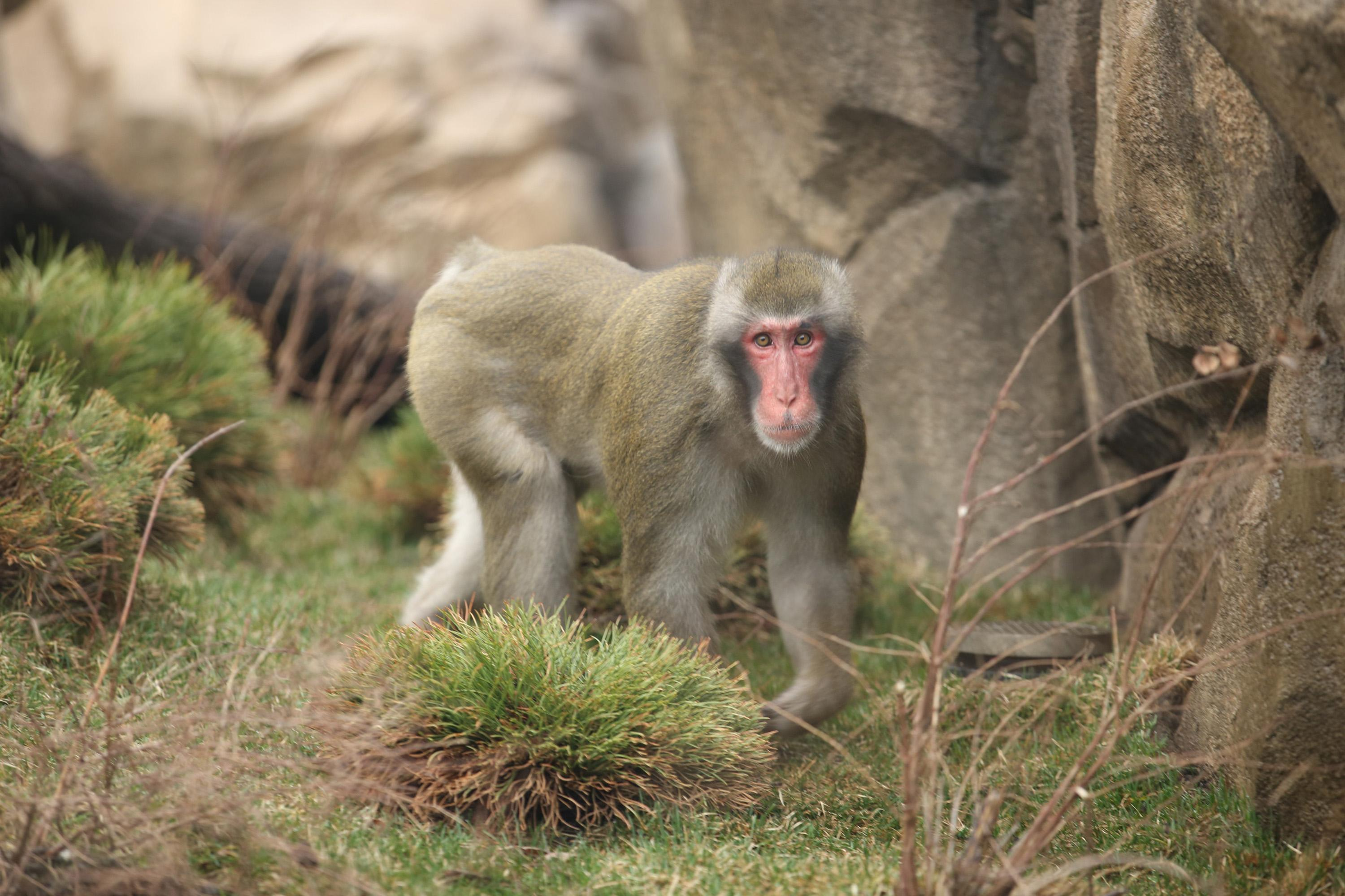A paternity test revealed that Miyagi, one of three adult male Japanese macaques at Lincoln Park Zoo, is the sire of all four Japanese macaques born at the zoo since 2014. (Todd Rosenberg / Lincoln Park Zoo)