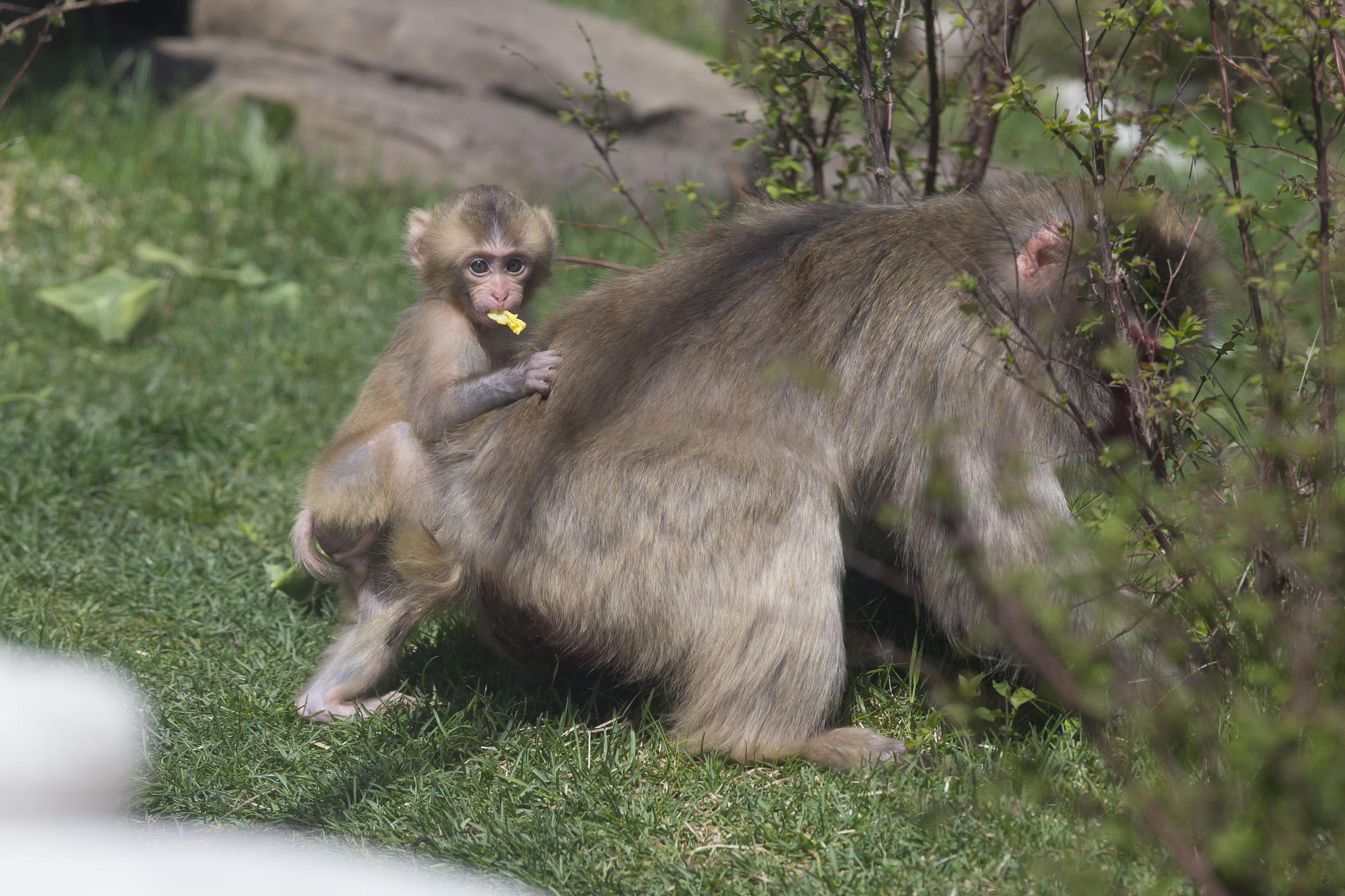 Iwaki, one of four Japanese macaques born since 2014 at Lincoln Park Zoo. (Todd Rosenberg / Lincoln Park Zoo)