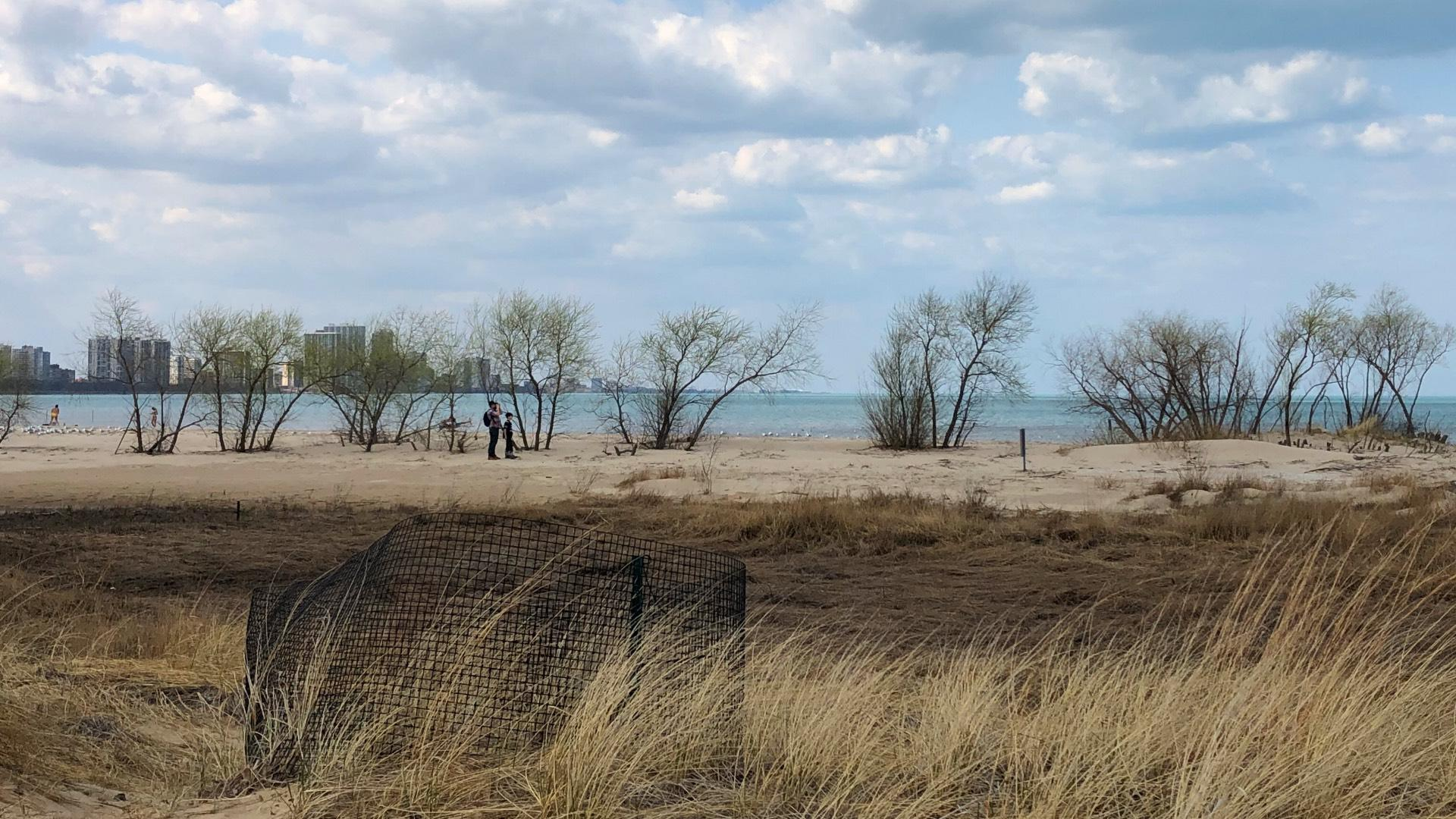 More Room for Plovers as Park District OKs Expansion of Protected Montrose Dune Natural Area | Chicago News