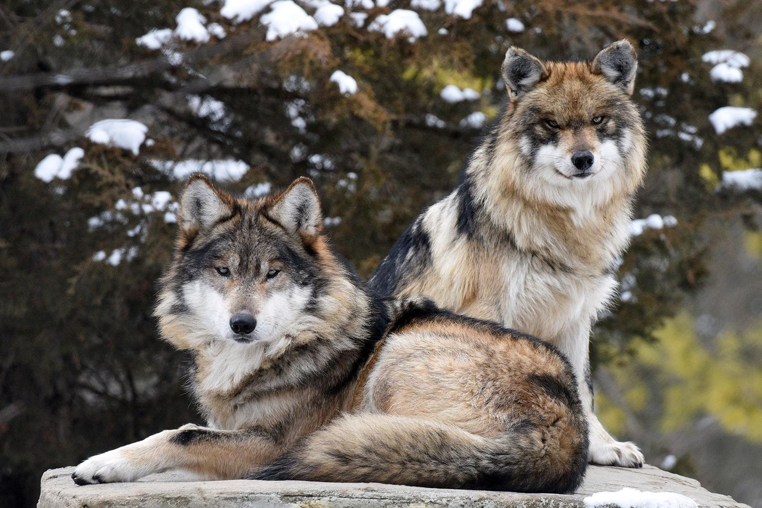 Apache, foreground, a 7-year-old old male Mexican wolf, recently arrived at Brookfield Zoo to be paired with 2-year-old Ela. (Jim Schulz / Chicago Zoological Society)