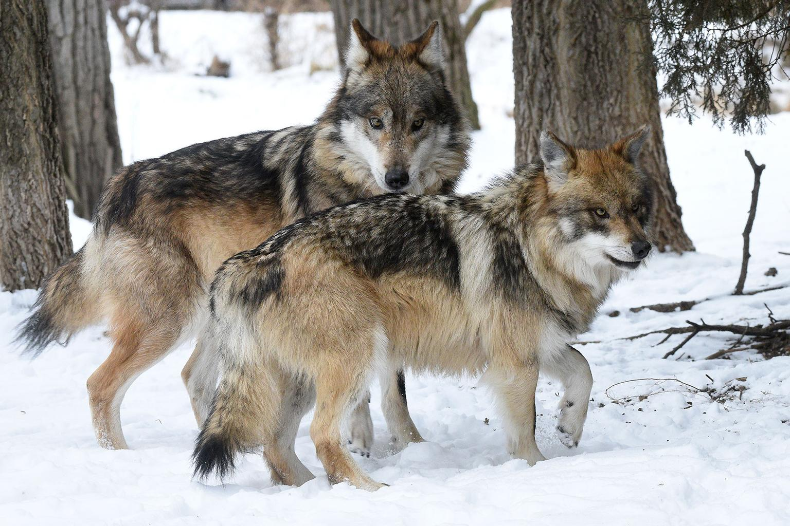 Apache, background, and Ela will be the new alpha Mexican wolf pair at Brookfield Zoo. (Jim Schulz / Chicago Zoological Society)